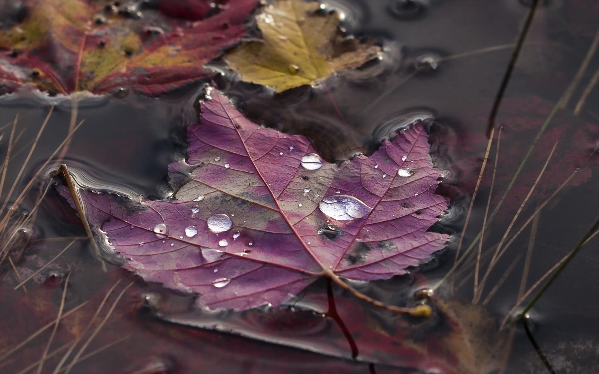 Кленовый лист лист вода на воде без смс
