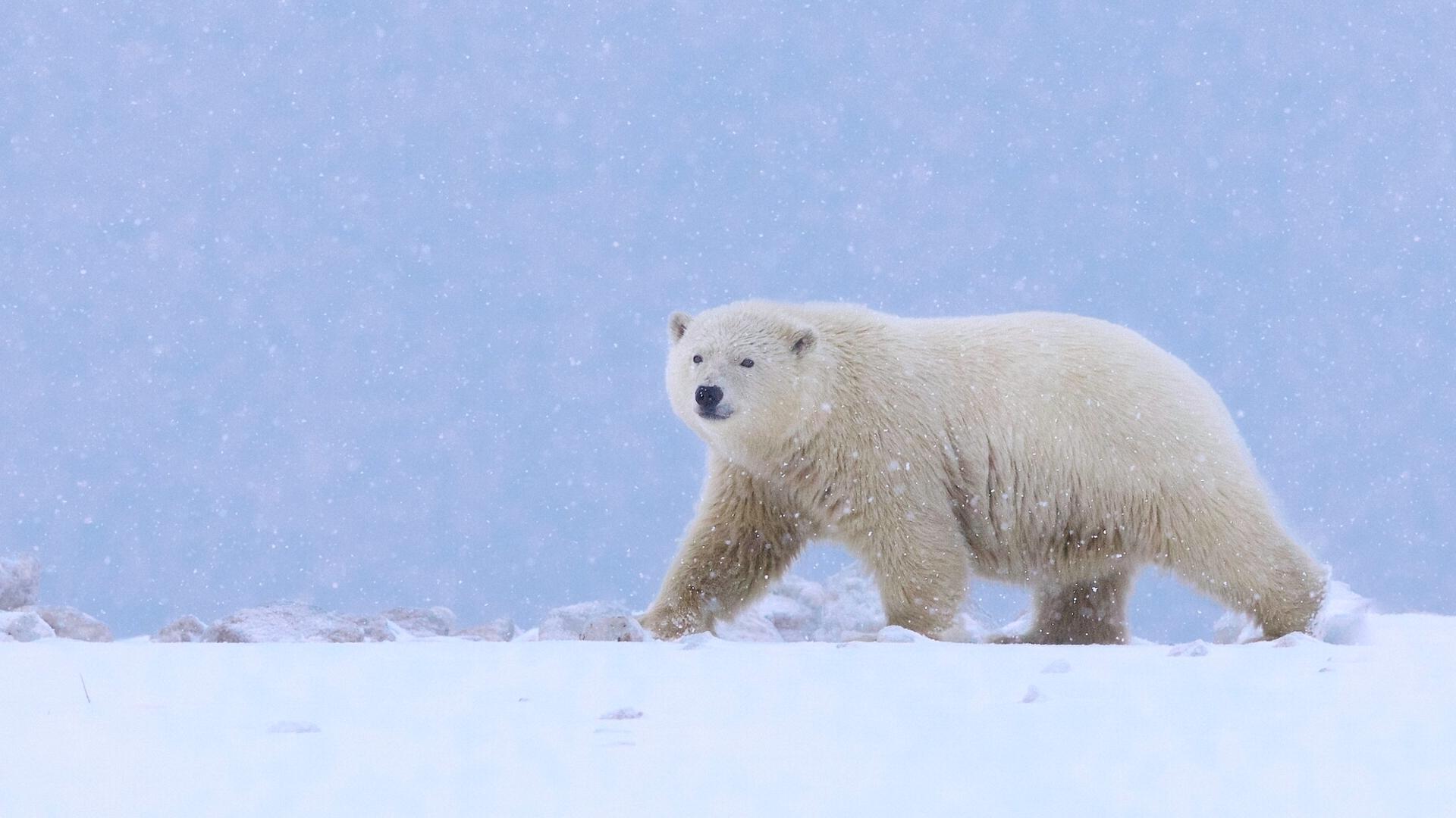 Онлайн казино полярний ведмідь завантажити гру не онлайн казино