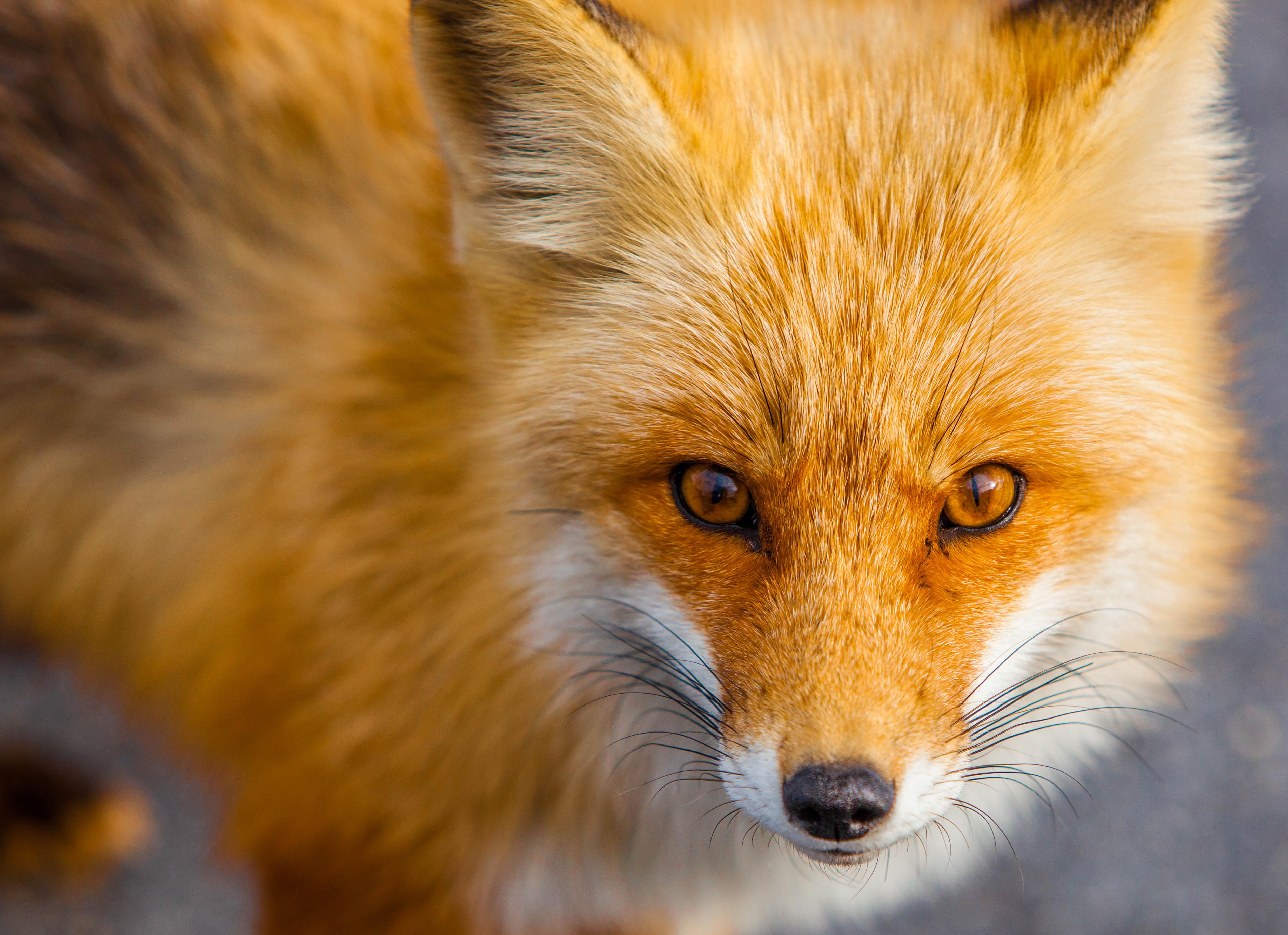 Добрый субботний, картинки рыжая лиса