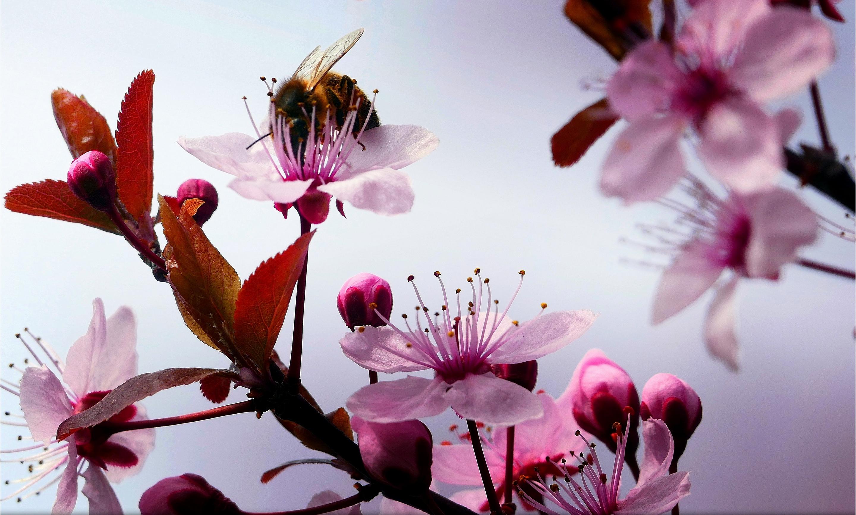 Шмель на цветущей ветке  № 1283576 без смс