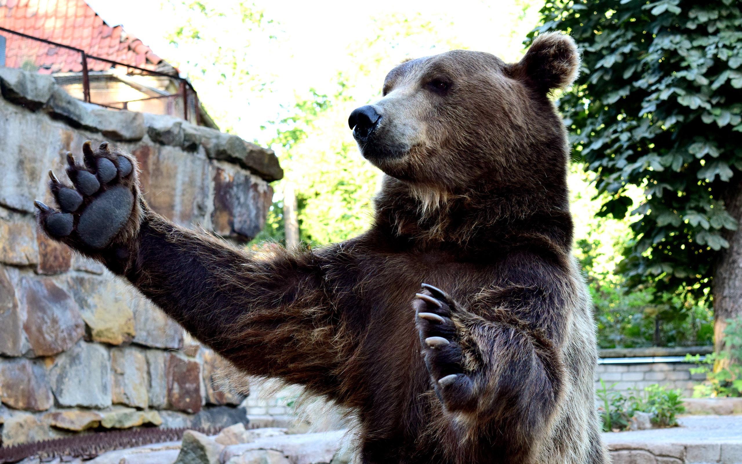 фото медведя с поднятой лапой заметил момент, что