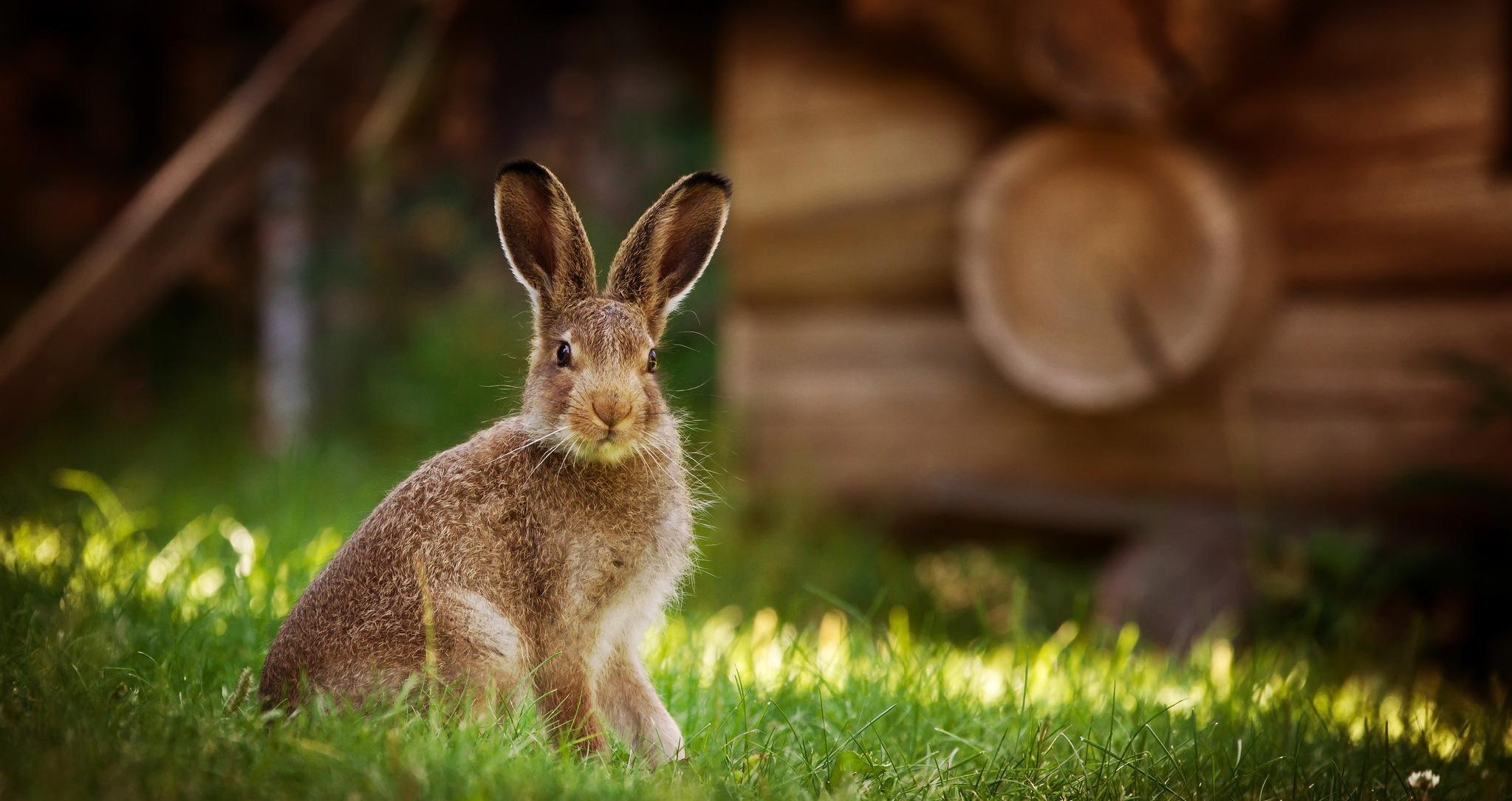 кролик девушка природа животное  № 1594137 бесплатно