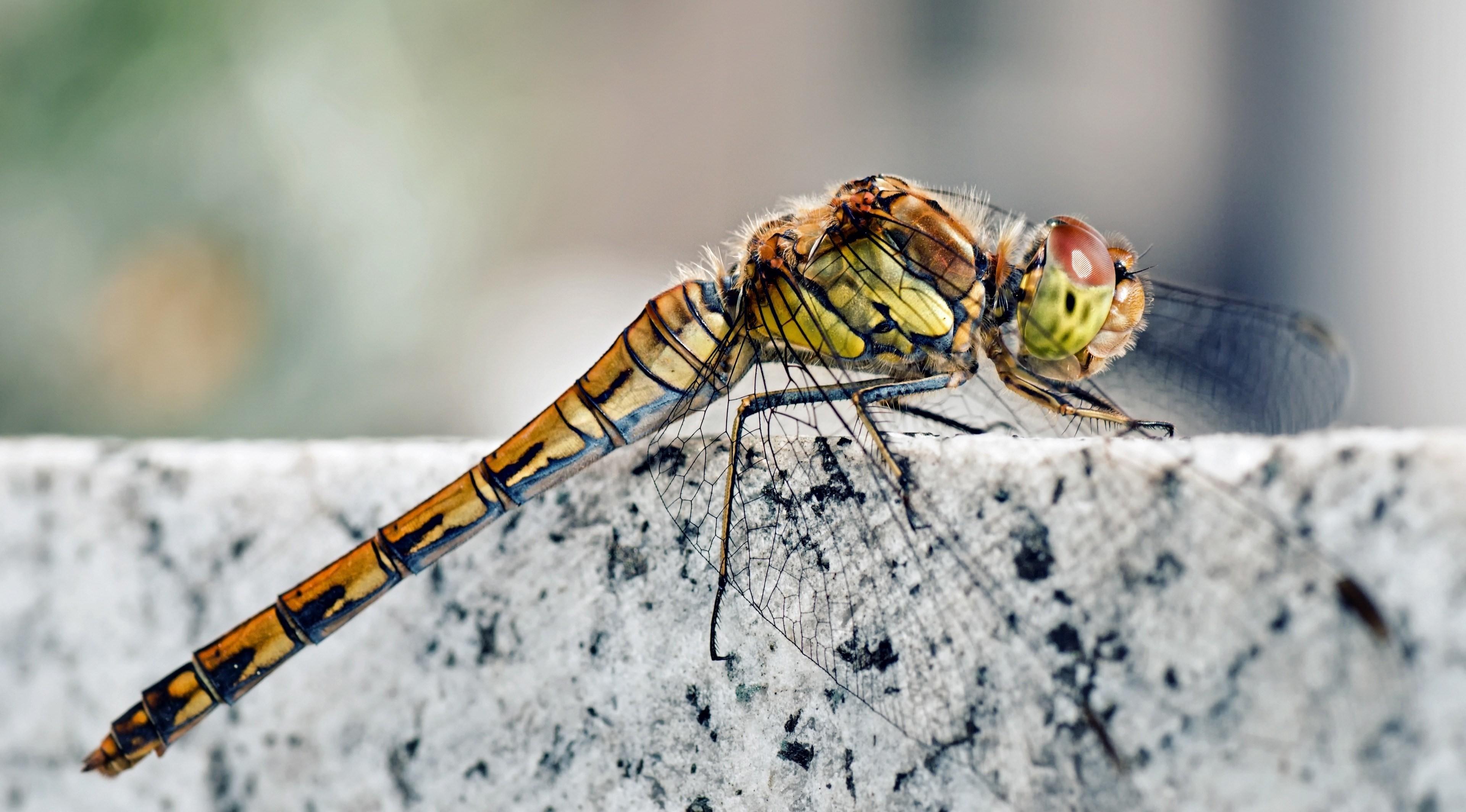 природа макро животные насекомое стрекоза  № 2748094 без смс