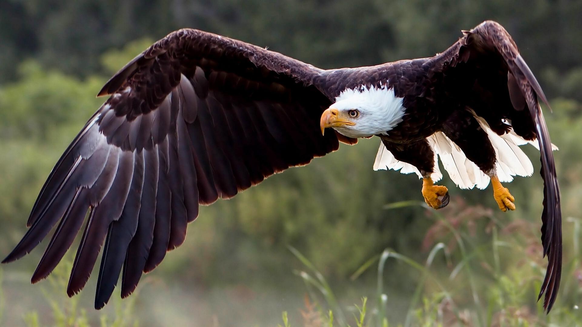 Картинка крылья хищной птицы