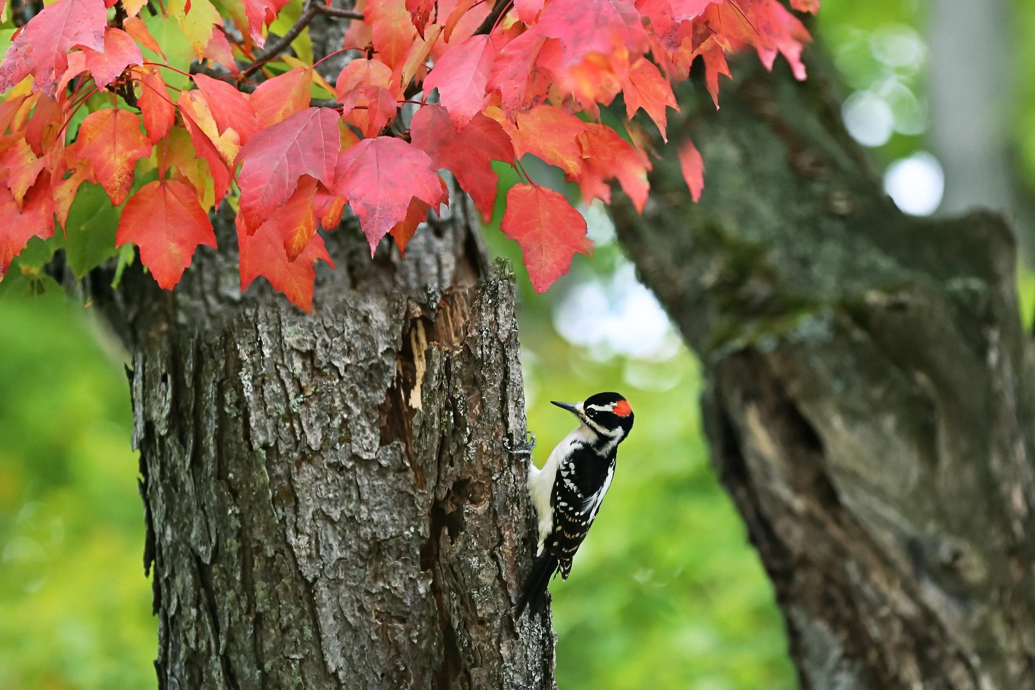 природа птица животное дятел дерево скачать
