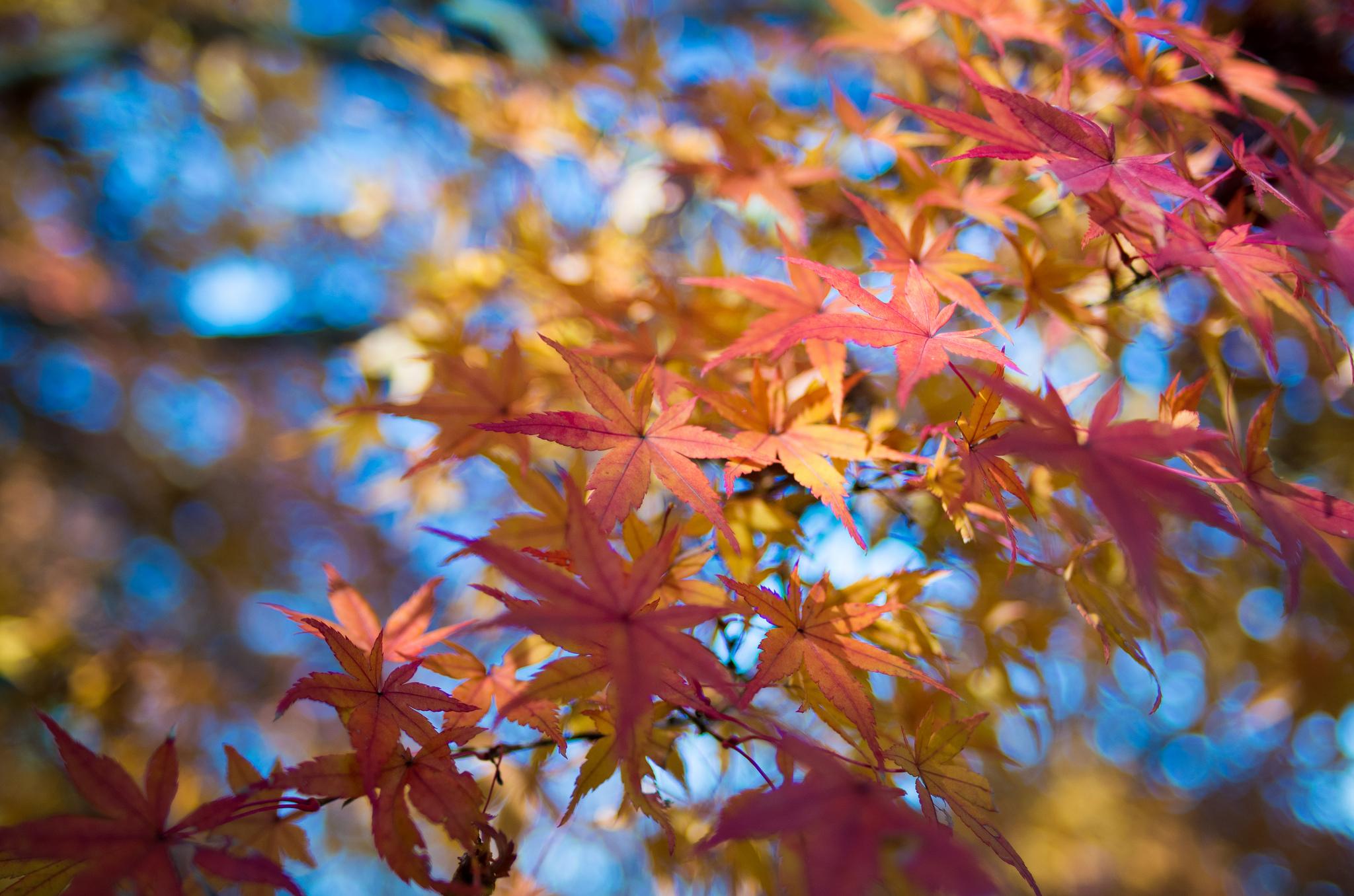 кленовый листья осень макро скачать