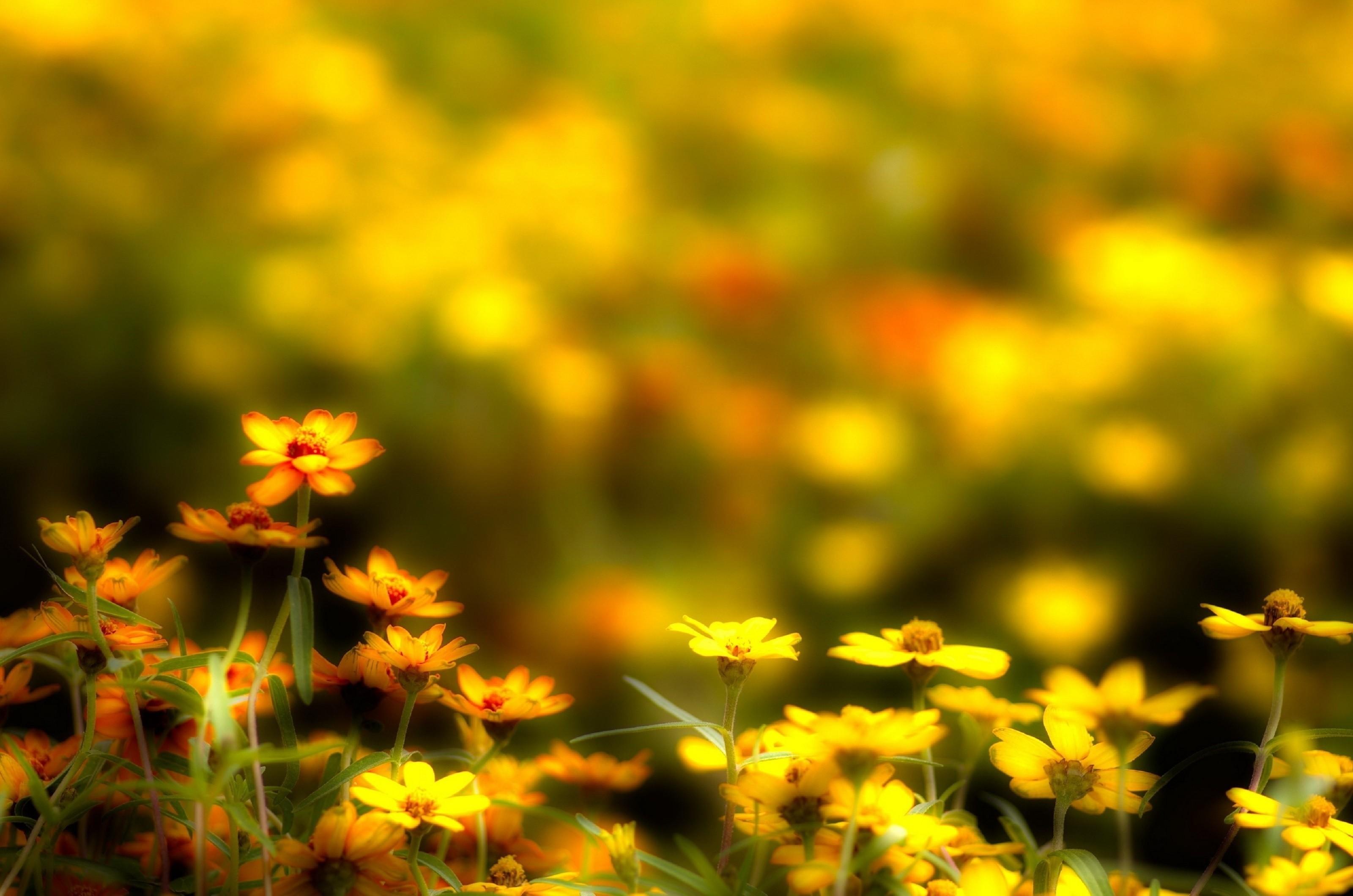 Желтые ромашки цветы желтые цветы размытость  № 3830981 бесплатно