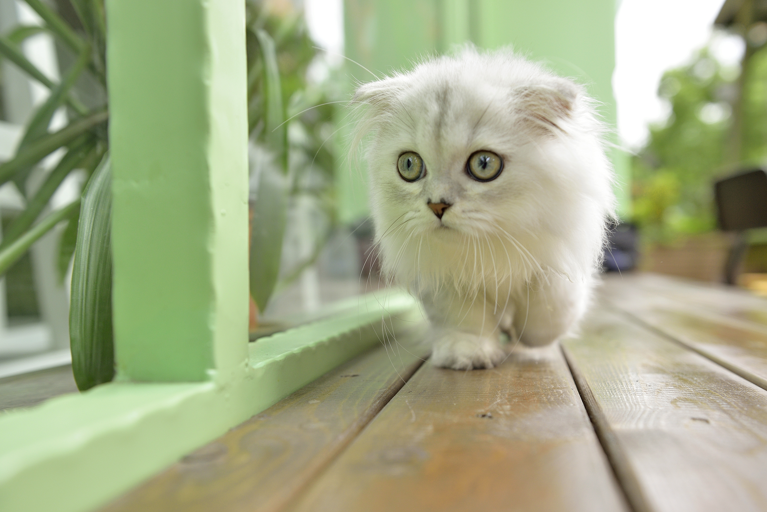 Обои на рабочий стол белый пушистый котенок