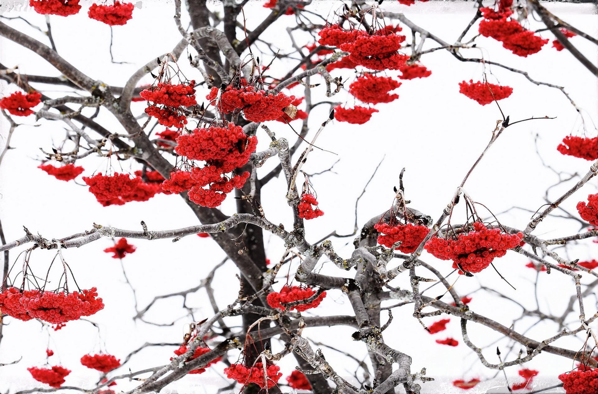 природа мороз рябина зима ветки еда ягоды  № 457148  скачать