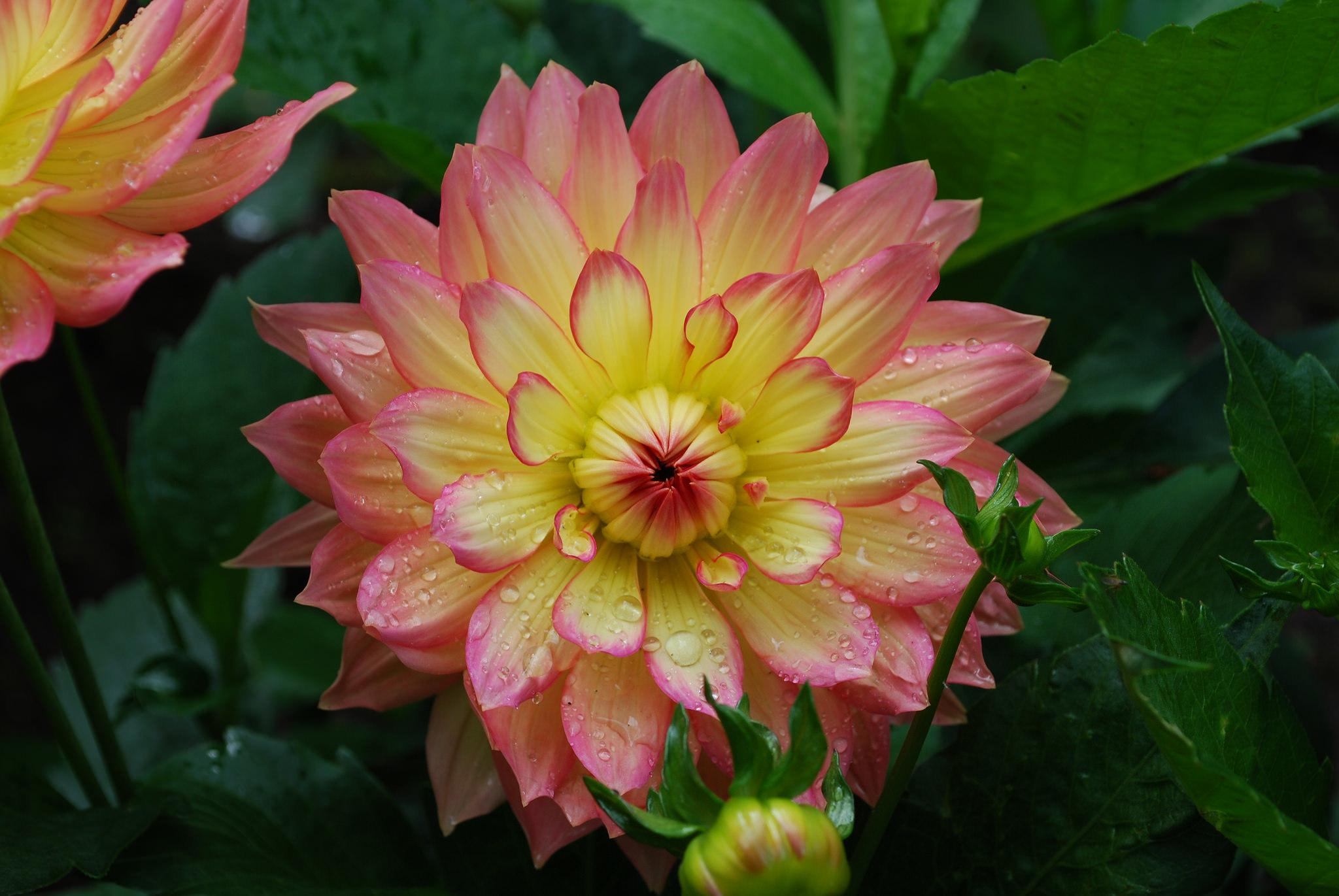 георгина цветок капли загрузить