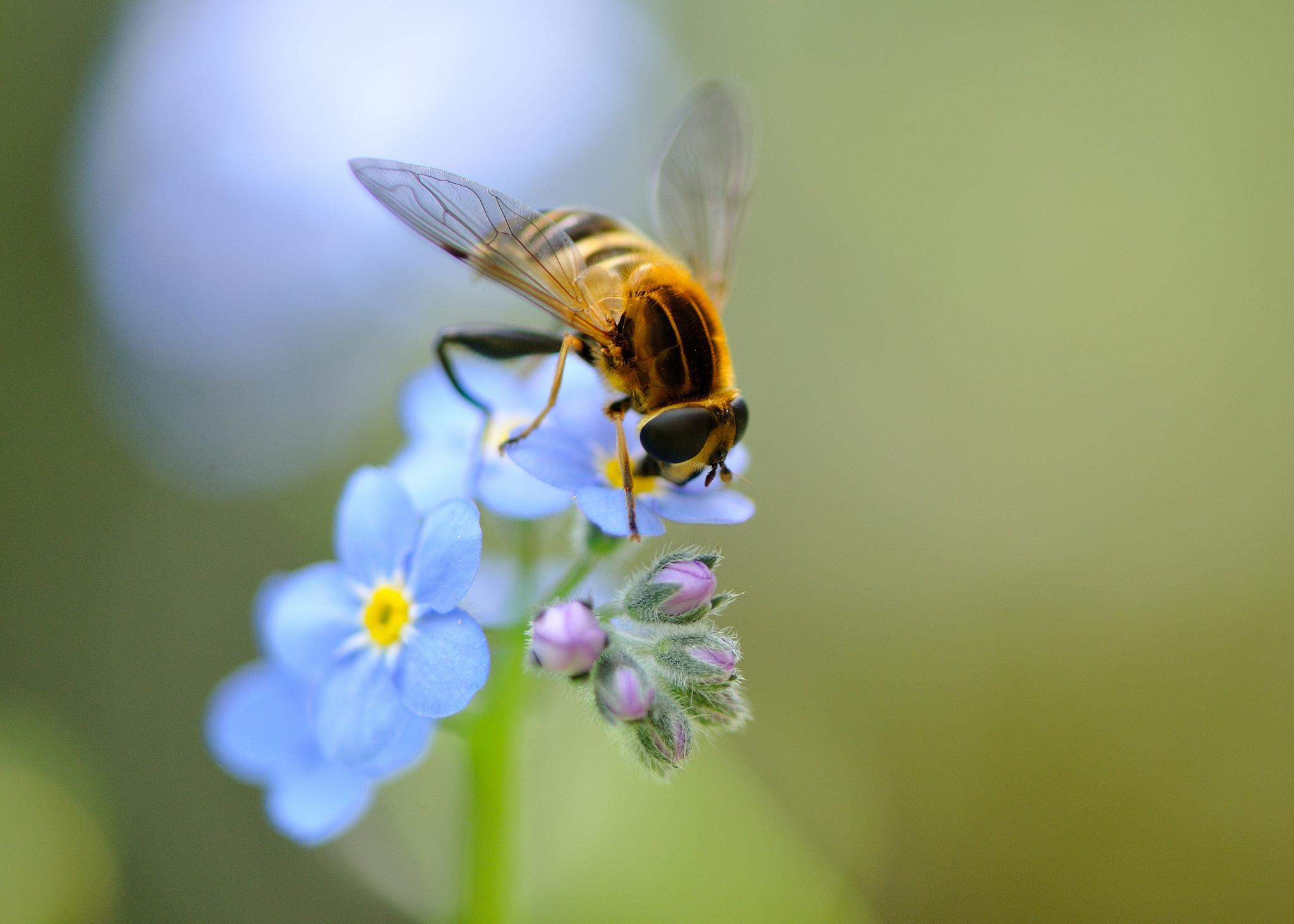 макро одуванчик животное насекомое пчела цветы природа  № 3007367 без смс