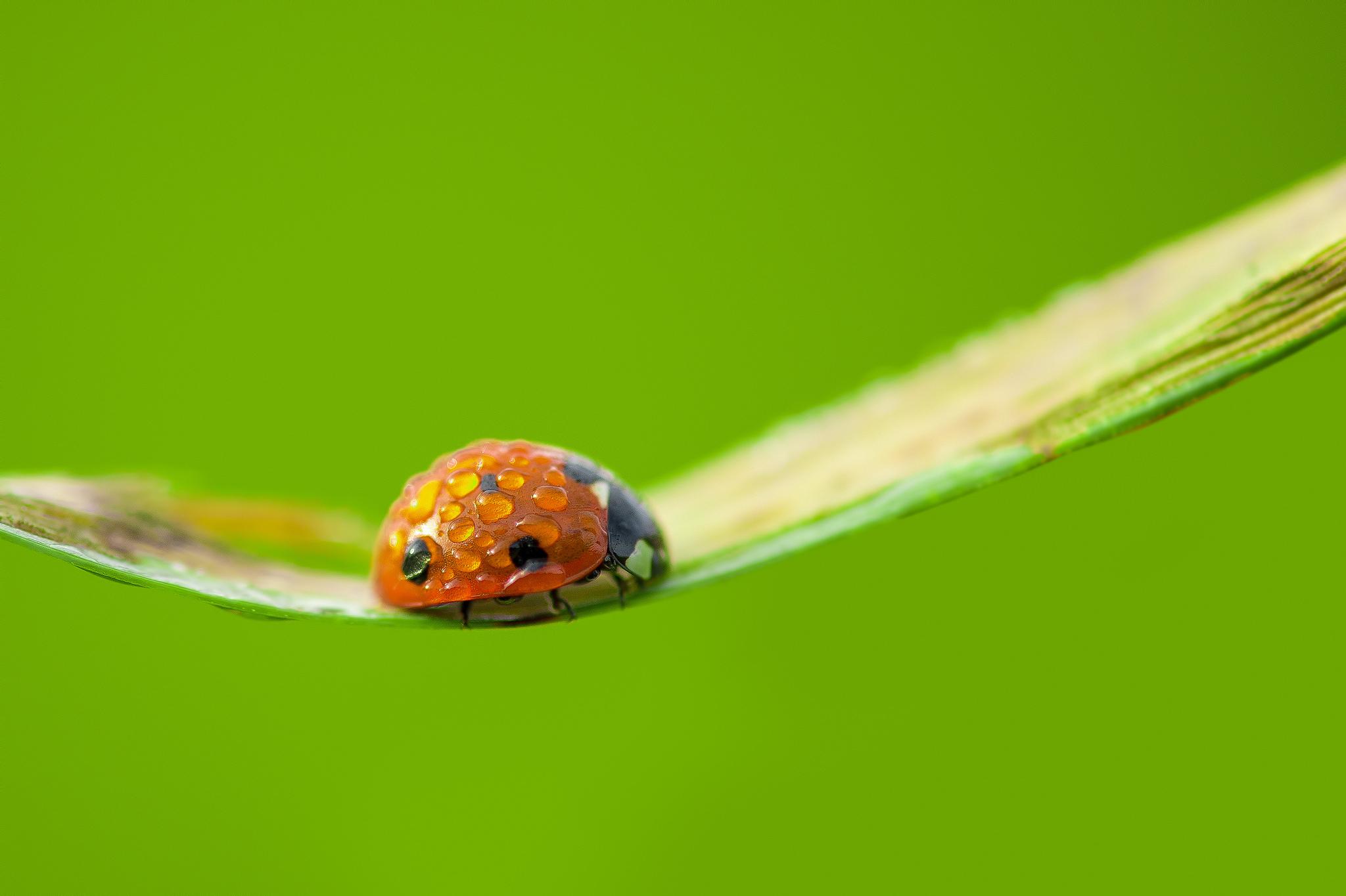 природа божья коровка цветок макро насекомое животное  № 3856312 загрузить