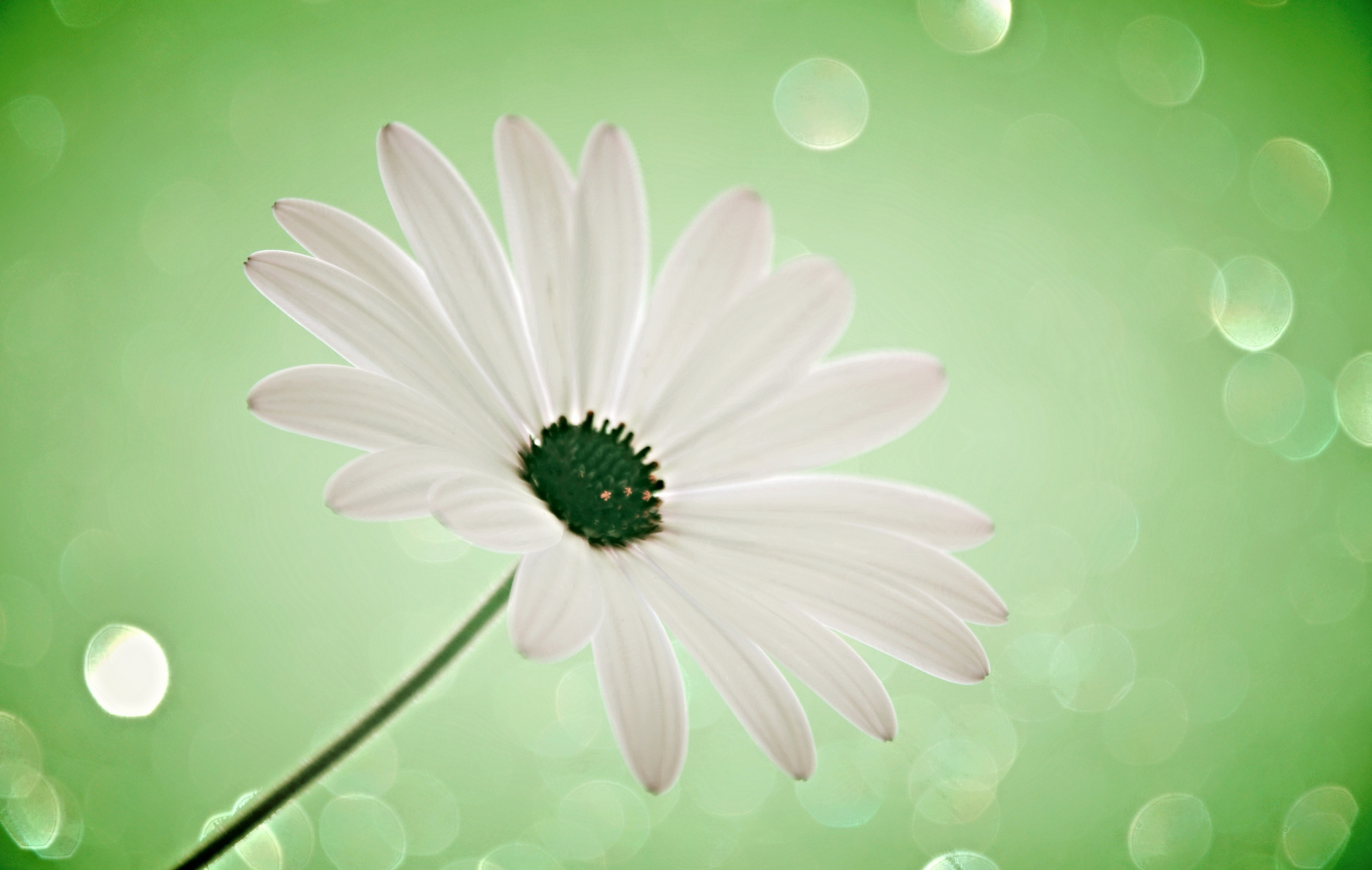 цветы ромашки блики бесплатно