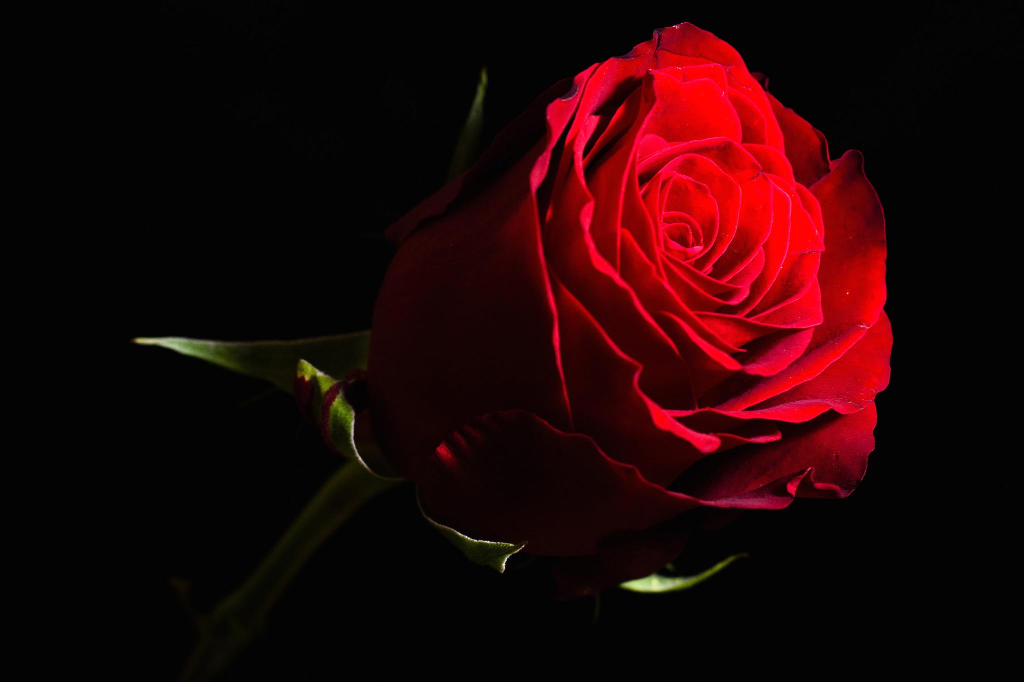фото роз на темном фоне соответствуют