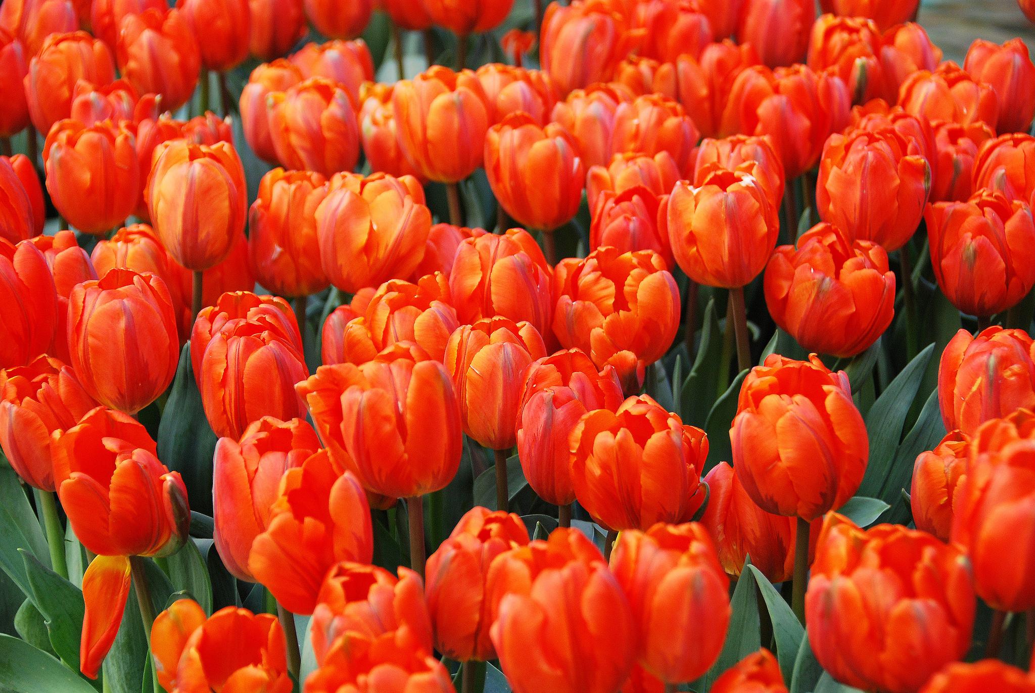 Картинка алые тюльпаны