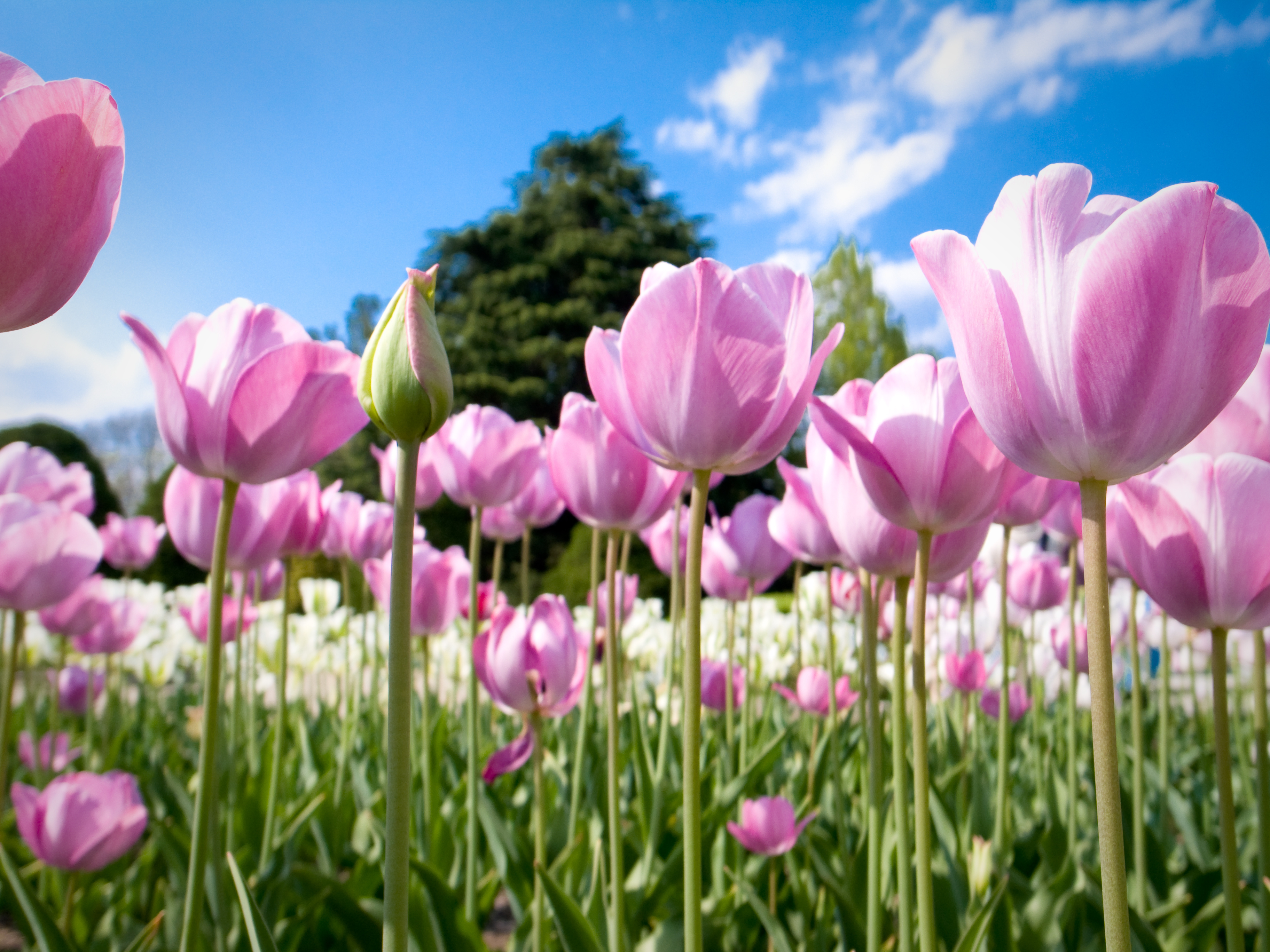 Фиолетовые тюльпаны в саду загрузить