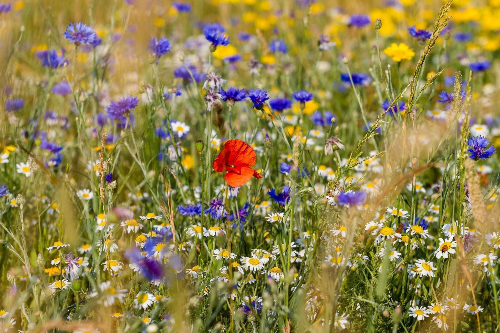 Полевые цветы полевые васильки и ромашки в лугах, мини