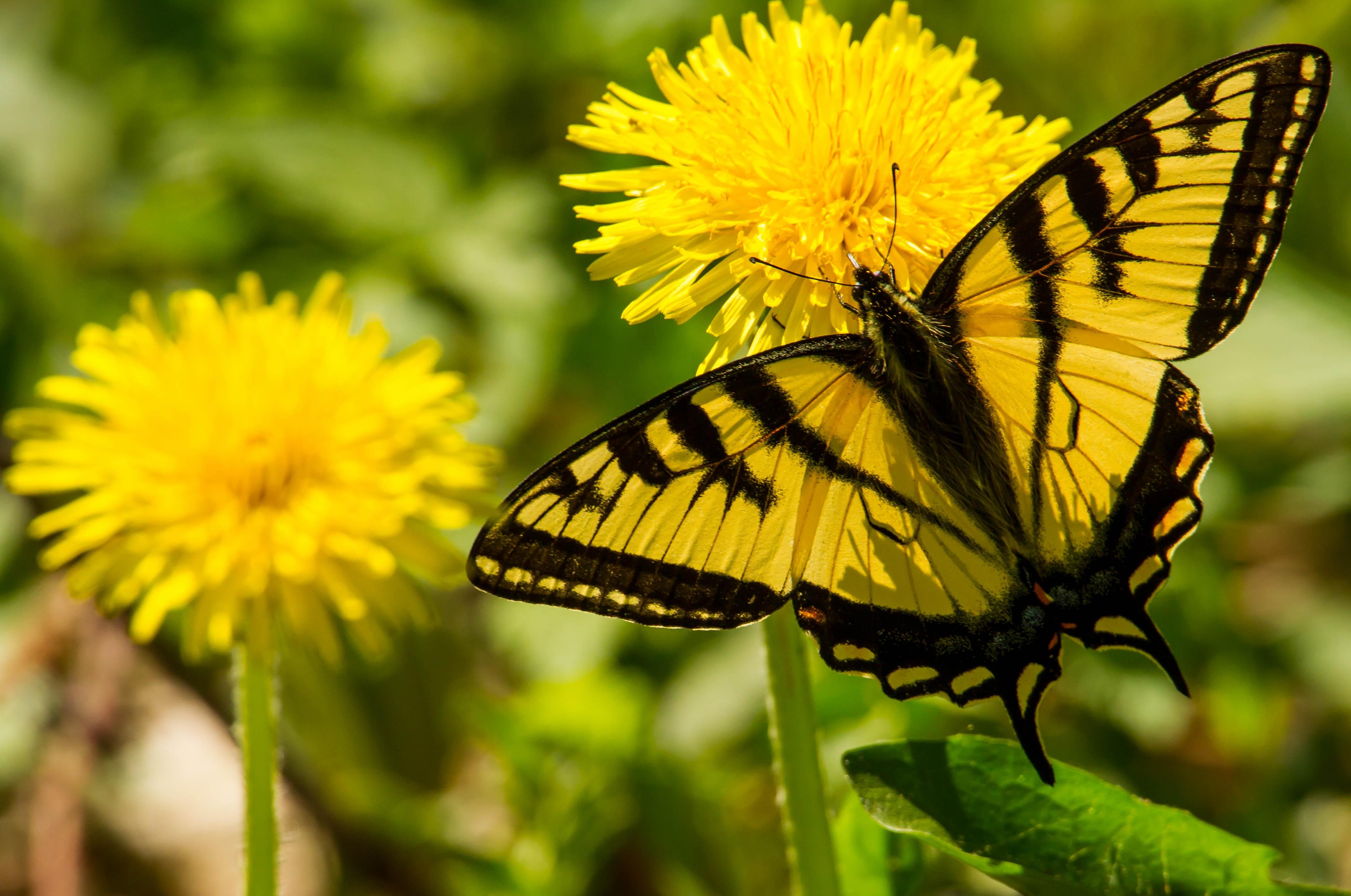 макро одуванчик животное насекомое пчела цветы природа  № 3007327  скачать