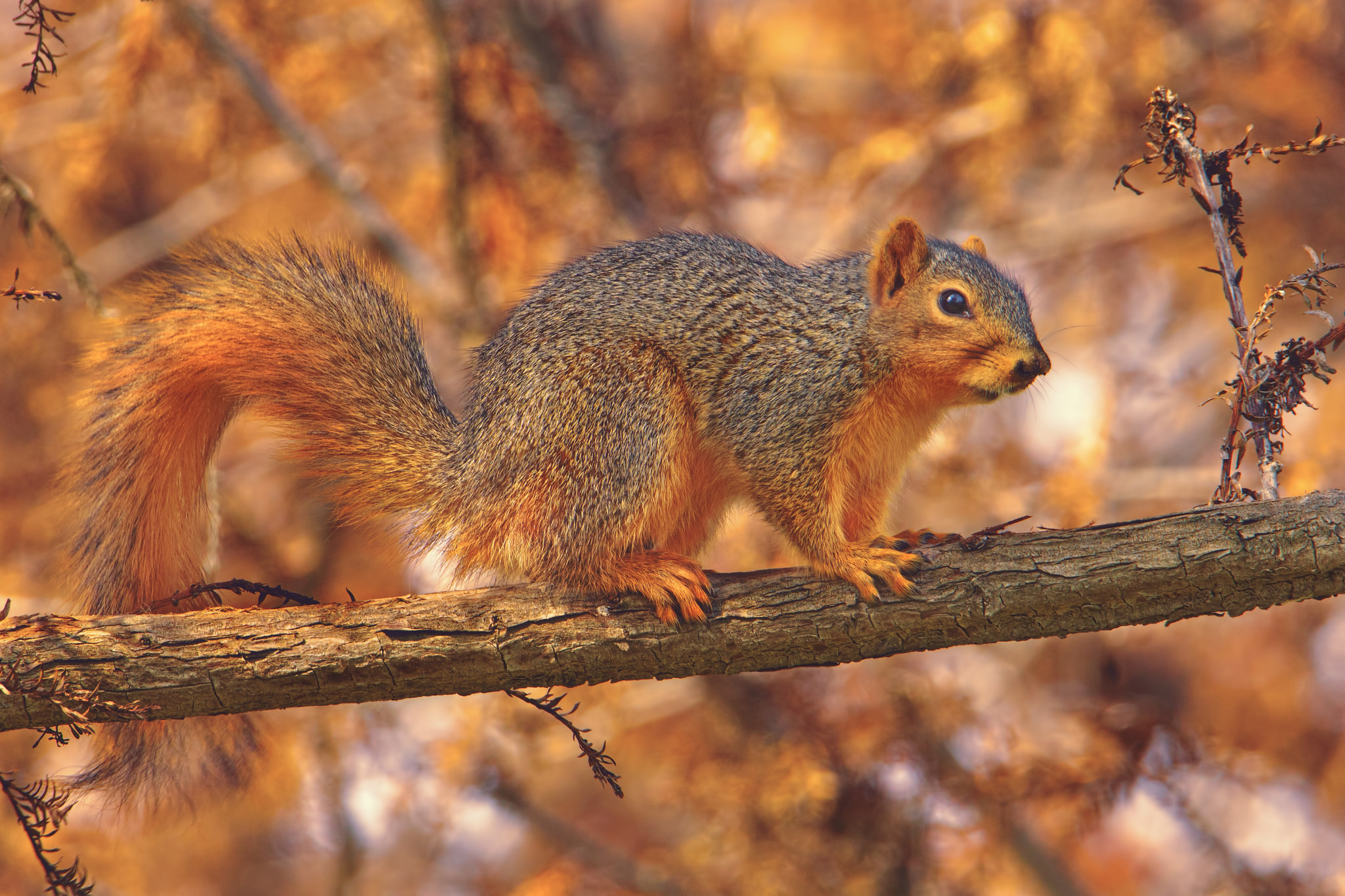 Eastern fox squirrel videos, photos and facts - Sciurus Pictures of a fox squirrel