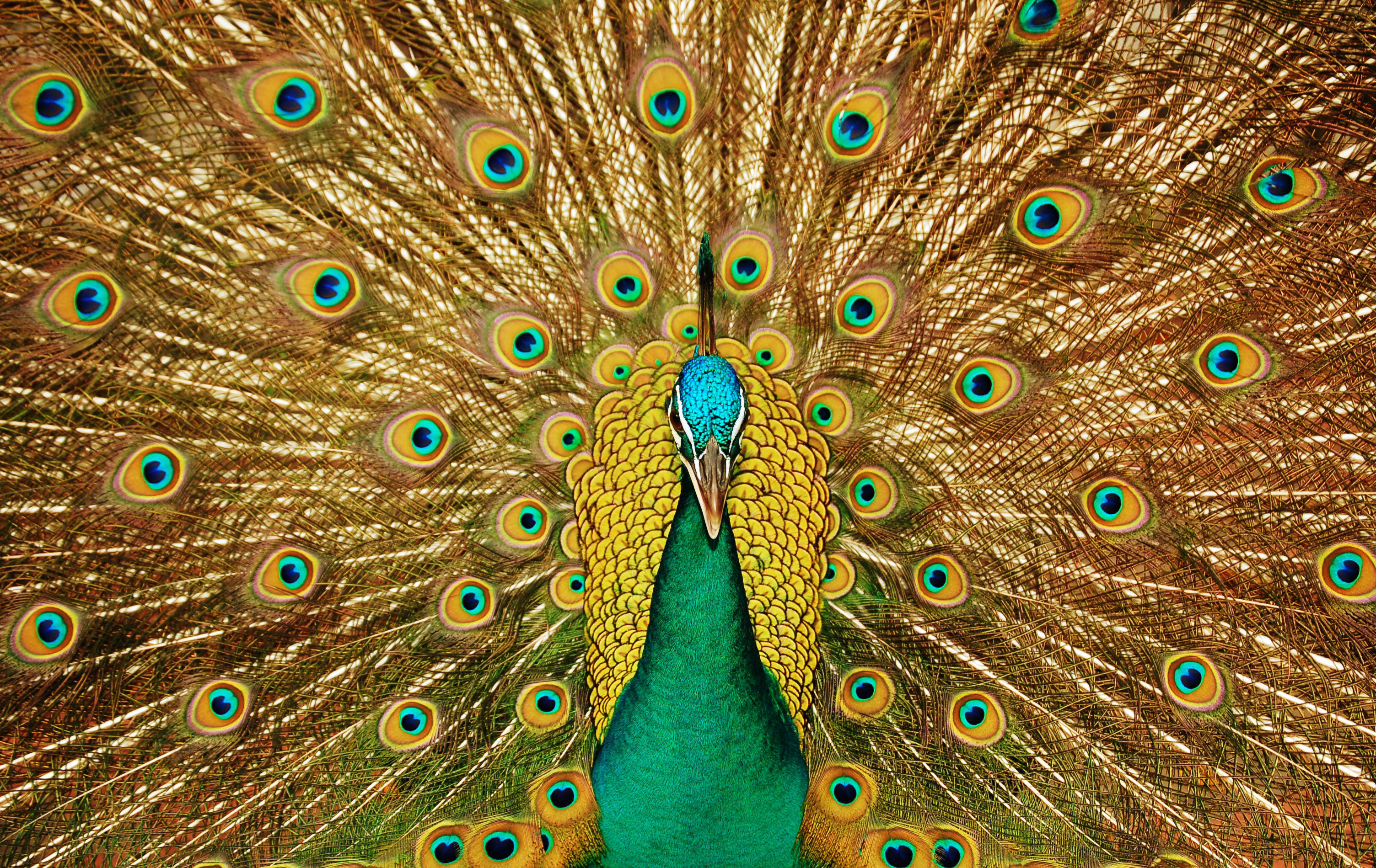 Beautiful animated peacock pictures