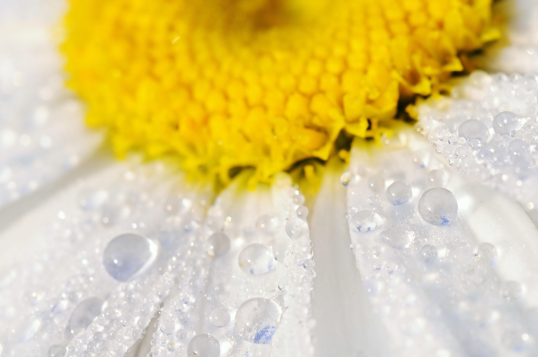 Желтые цветки с каплей бесплатно