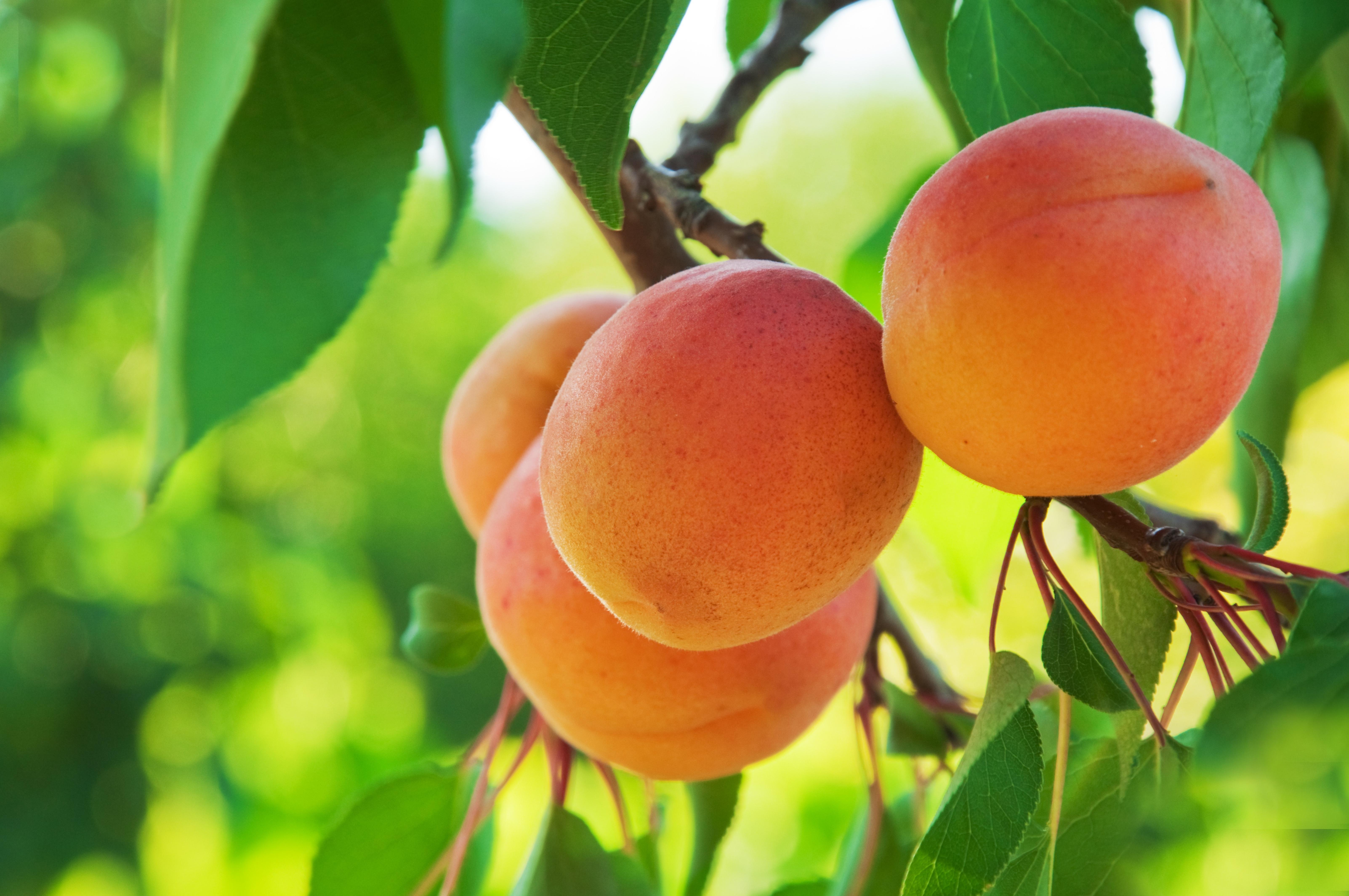 натуральным картинка ветка абрикос экскурсии проходят здесь