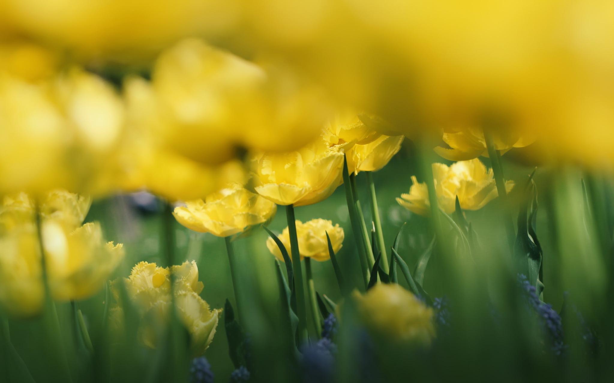 природа цветы тюльпаны желтые nature flowers tulips yellow без смс