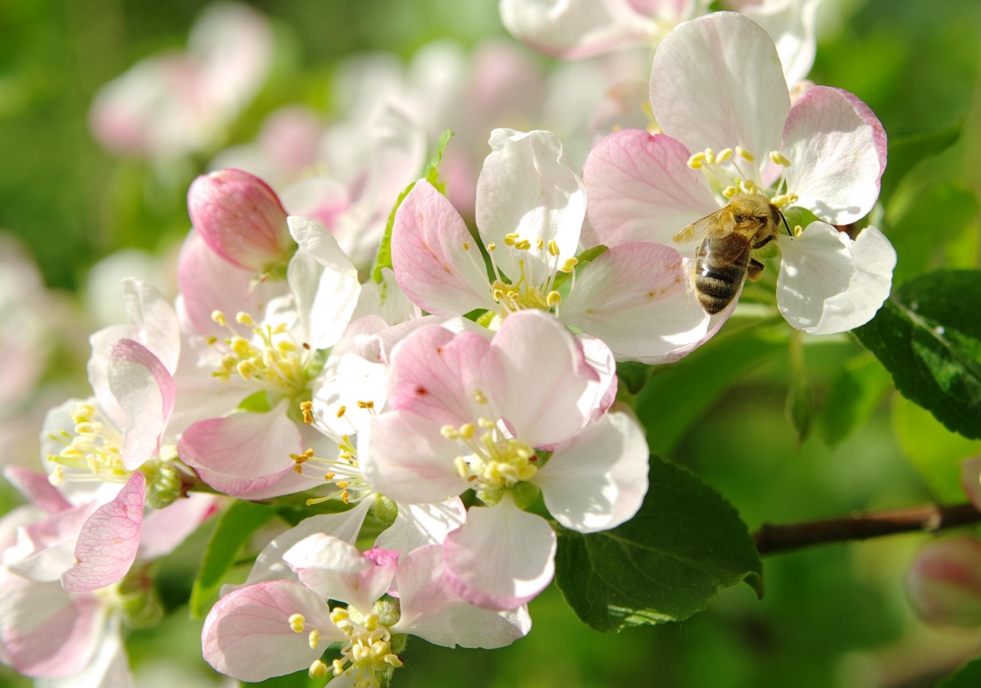 Картинка с яблоневым цветом, подписать
