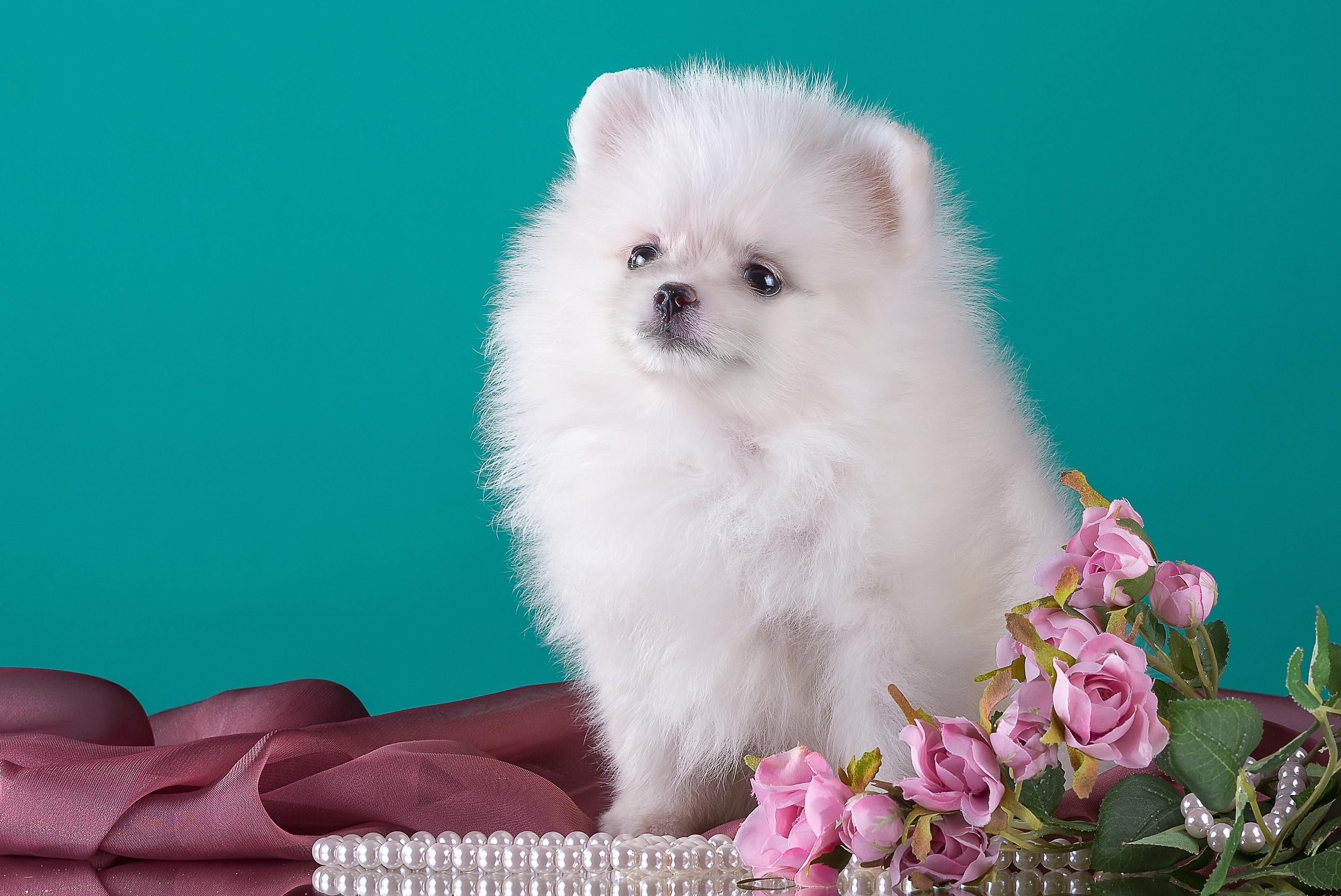 белые собаки щенки животные розовый фон  № 2918125 без смс