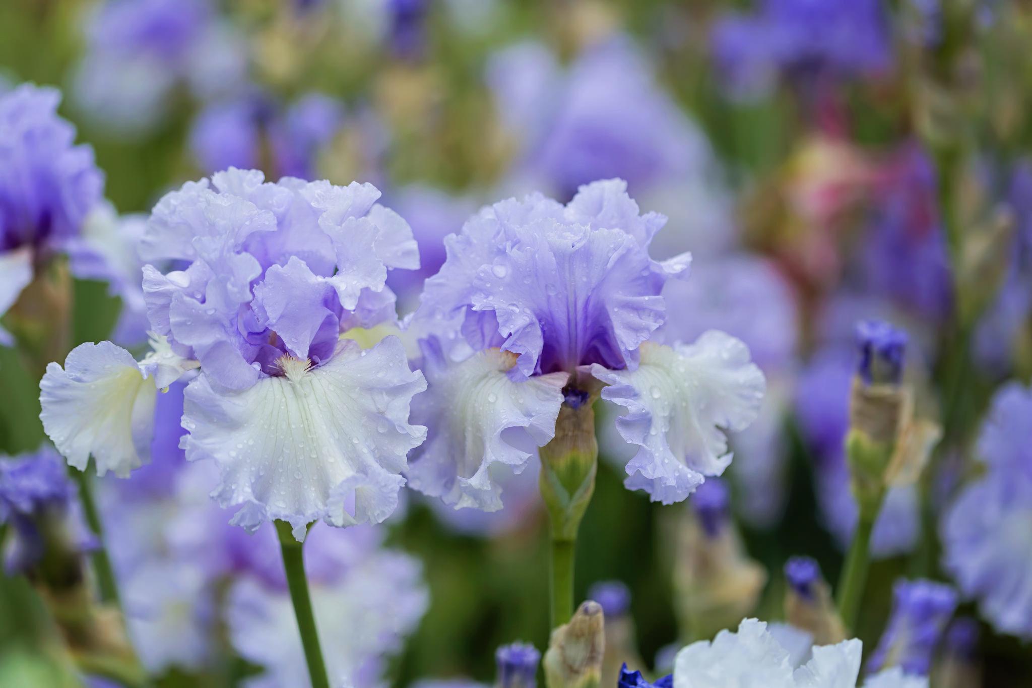 шмель,ирис,цветок,лето  № 529565  скачать