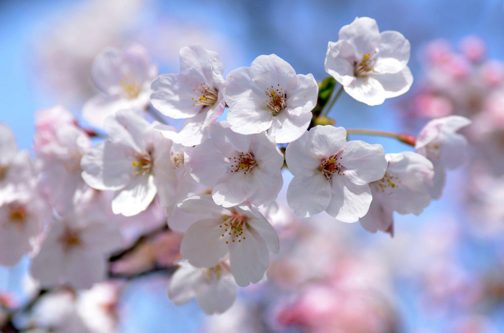 ветка цветущей вишни фото каждой зоне