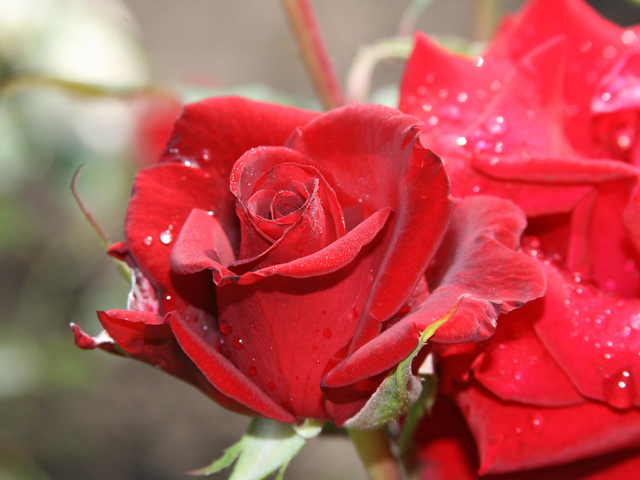 роза с каплями  № 3828973 без смс