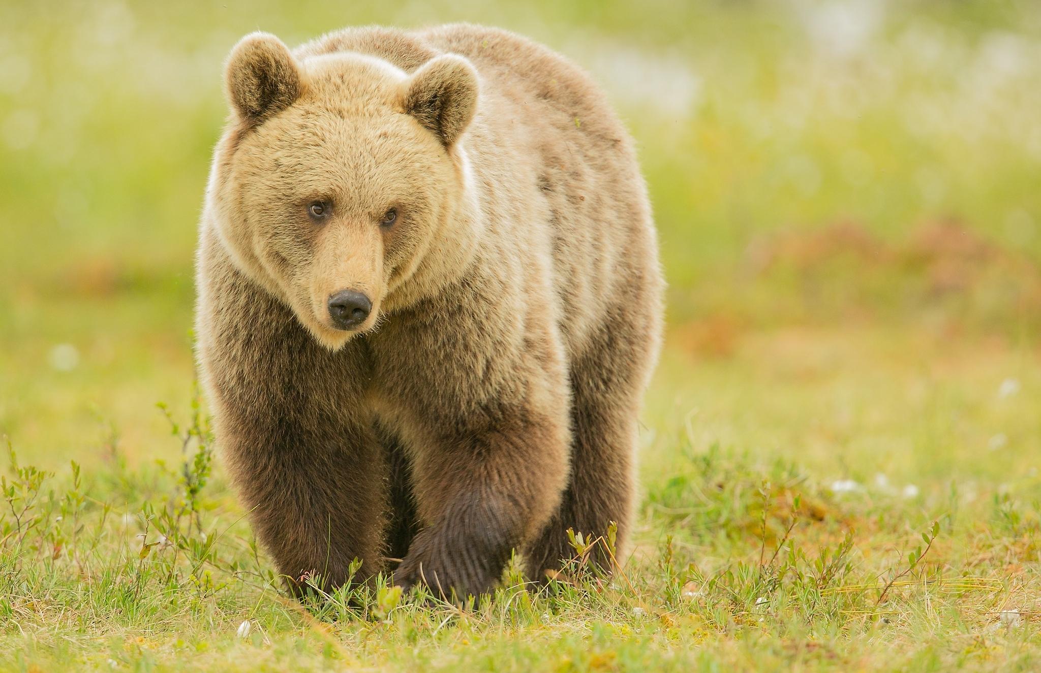 Крутые, открытка бурый медведь