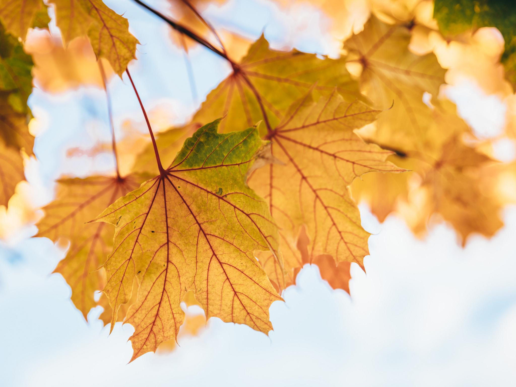 картинки листья желтые получения