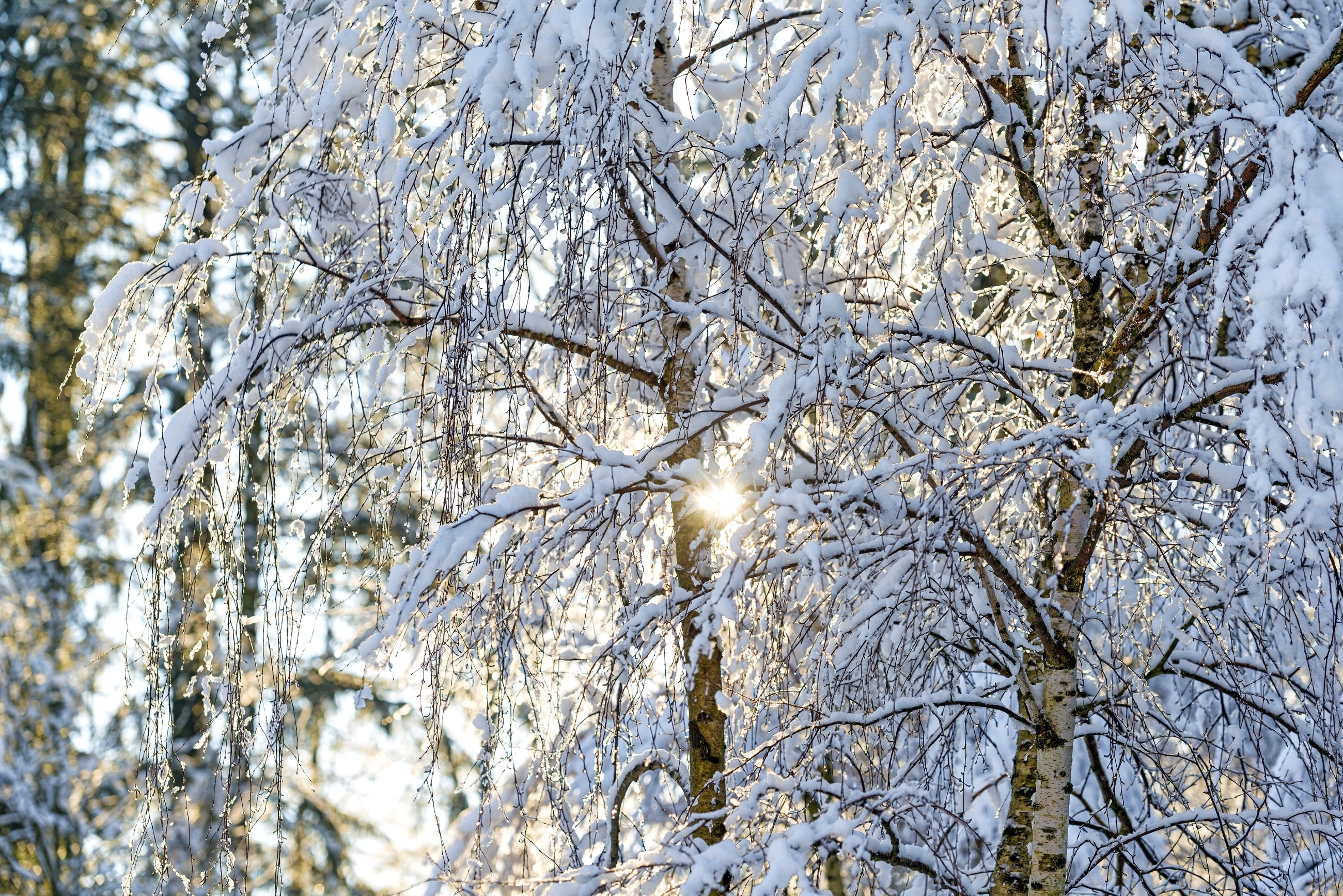 снег ветви лес snow branches forest  № 442845 бесплатно