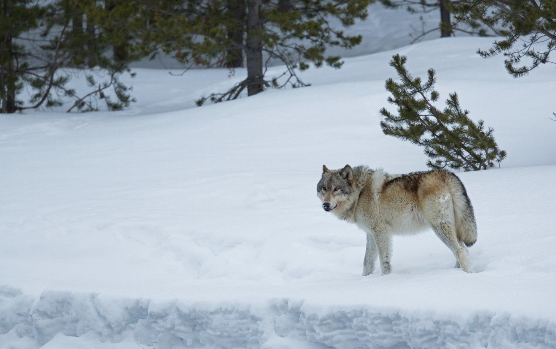 картинка лес волк снег яхты балаклаве это