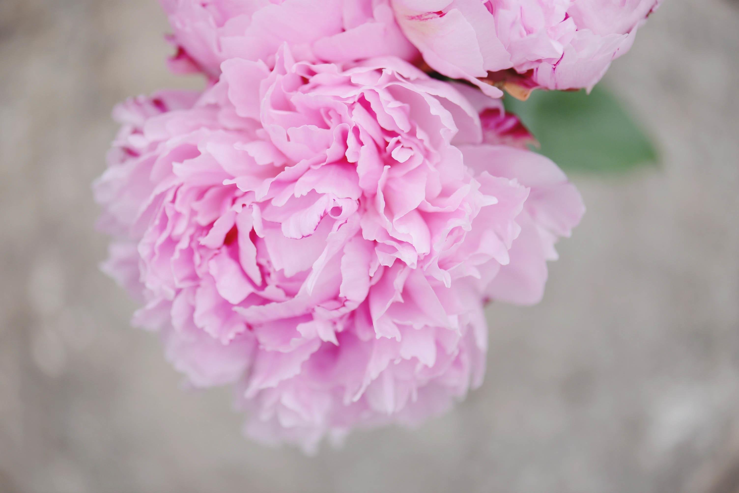 Картинки с розовыми пионами