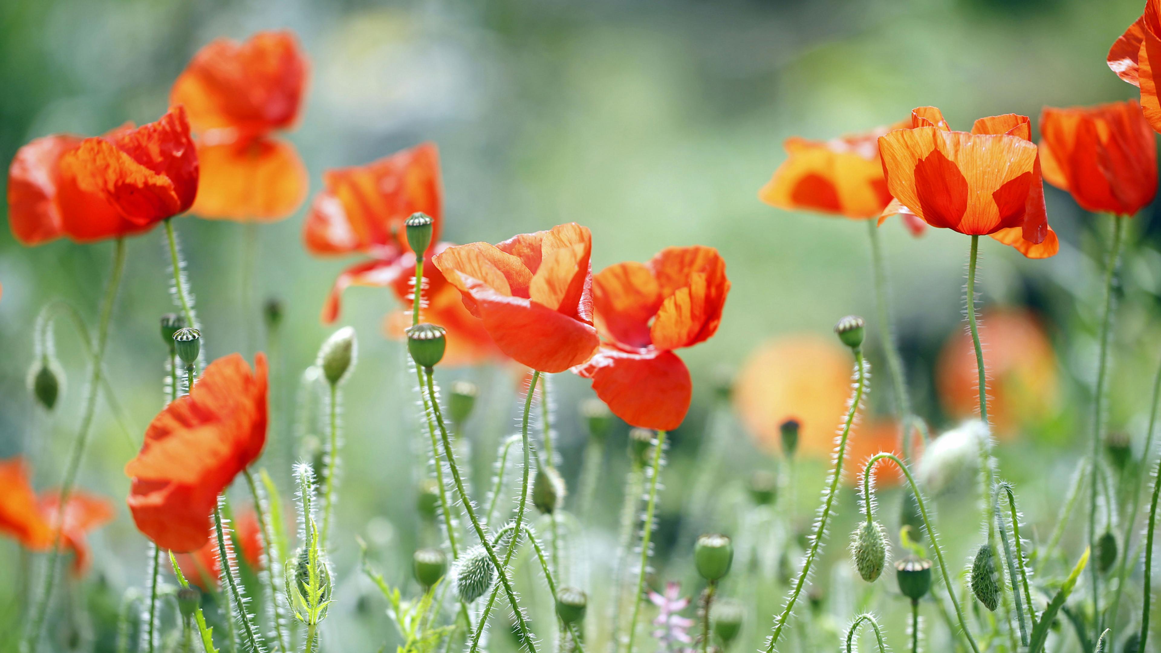Маки фото цветов на рабочий