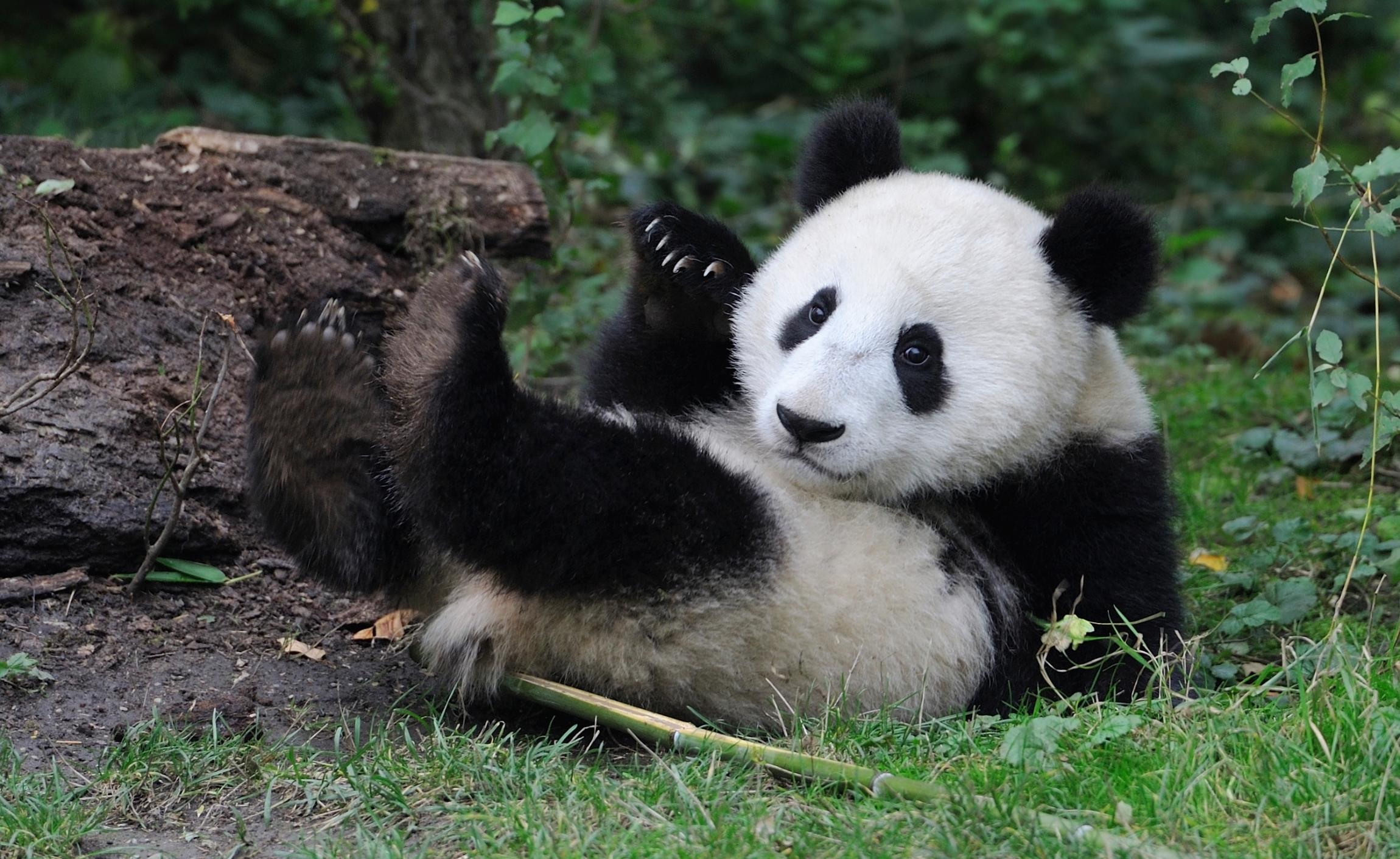 Малыш панда картинки