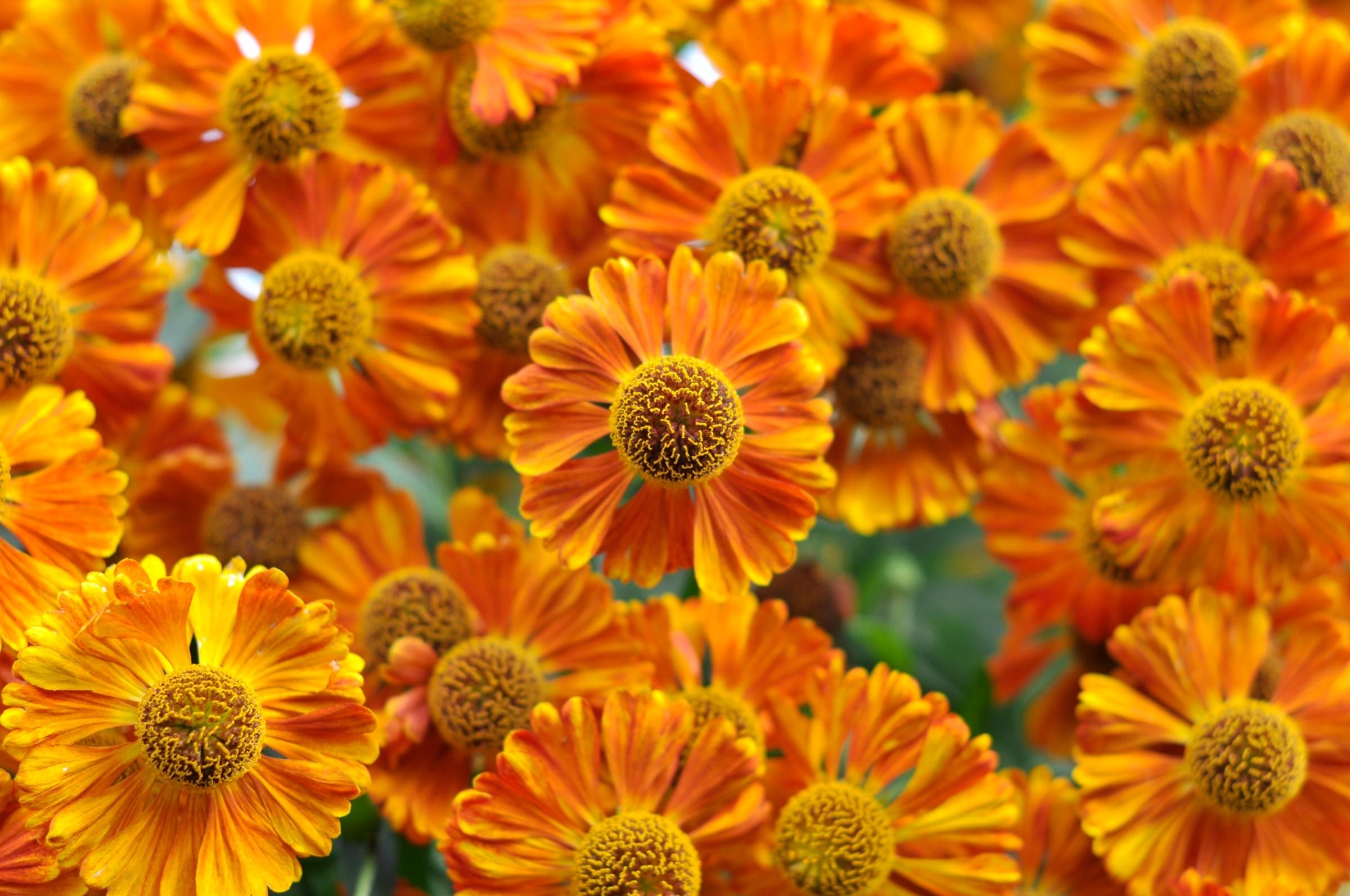 Цветы гелениум и картинки
