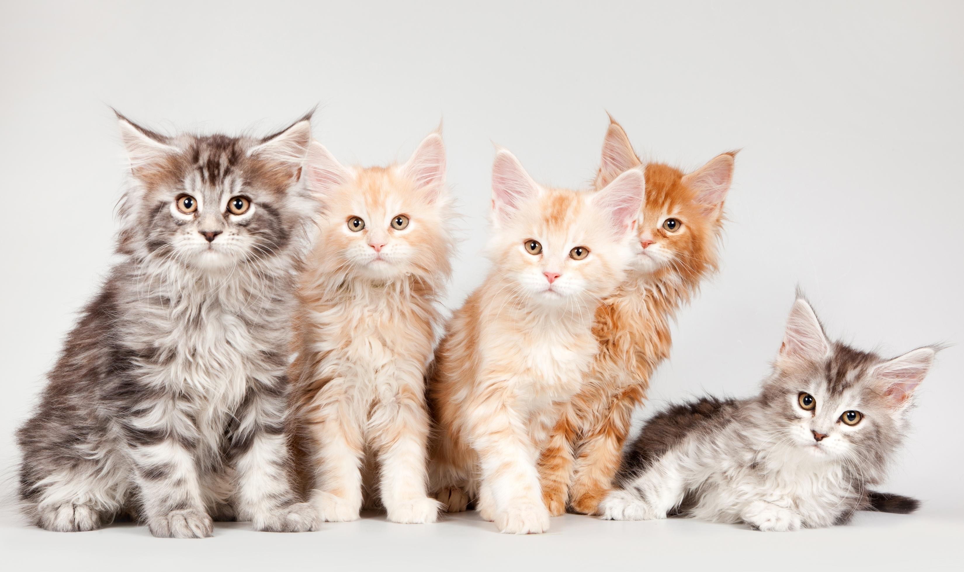 котята кошек мейн кун