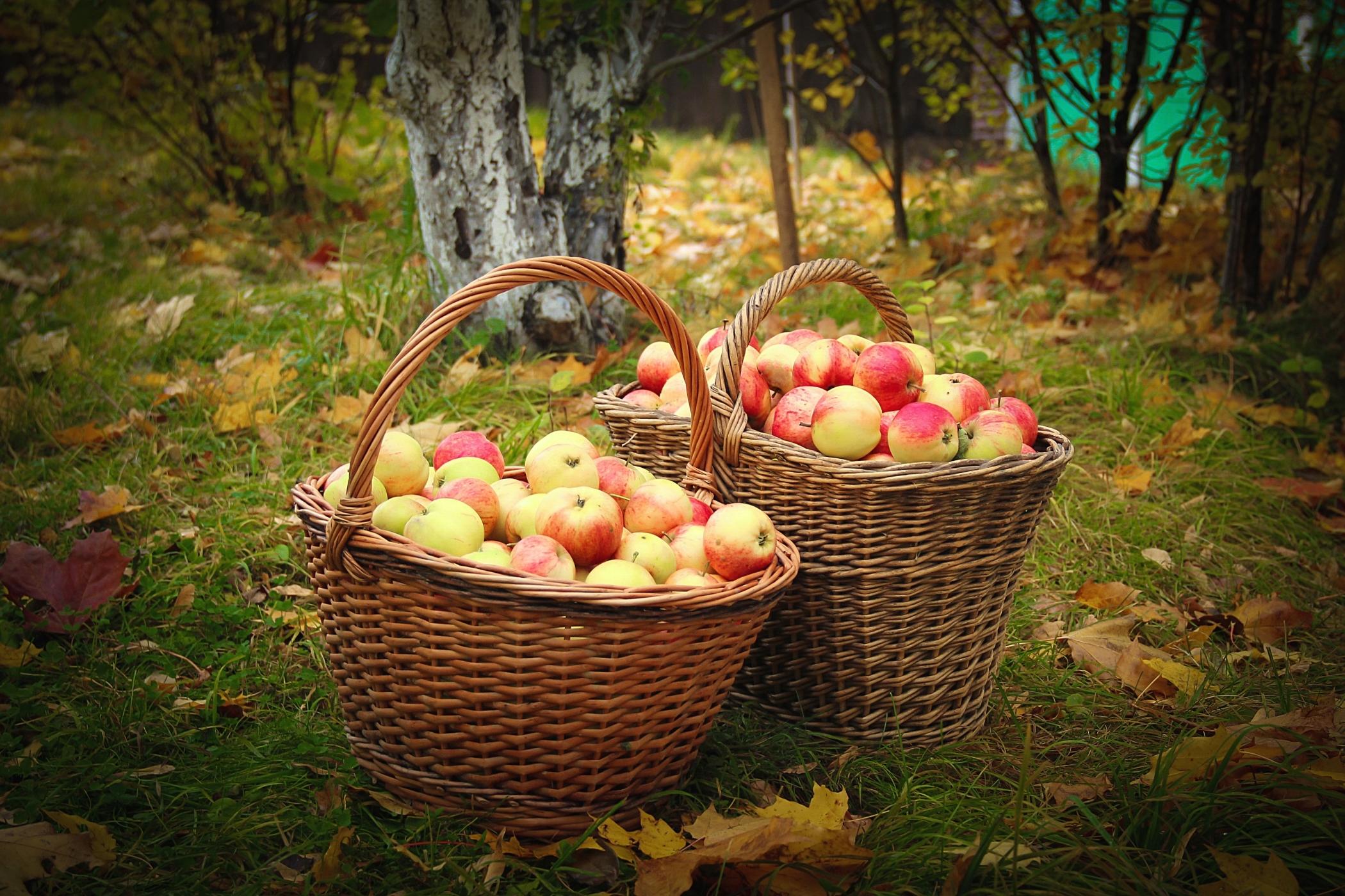 Корзина с яблоками бесплатно
