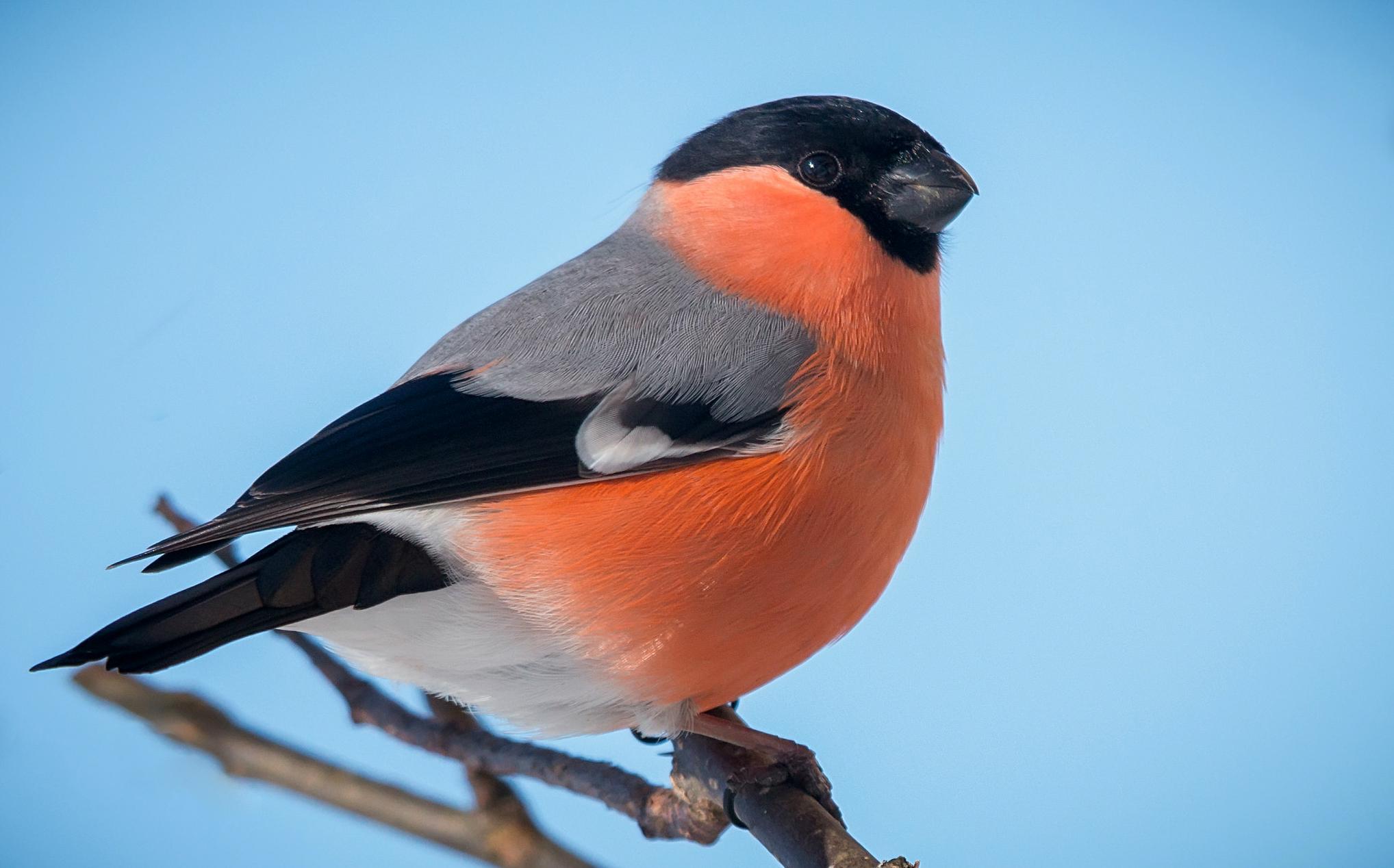 Картинка снегиря птицы