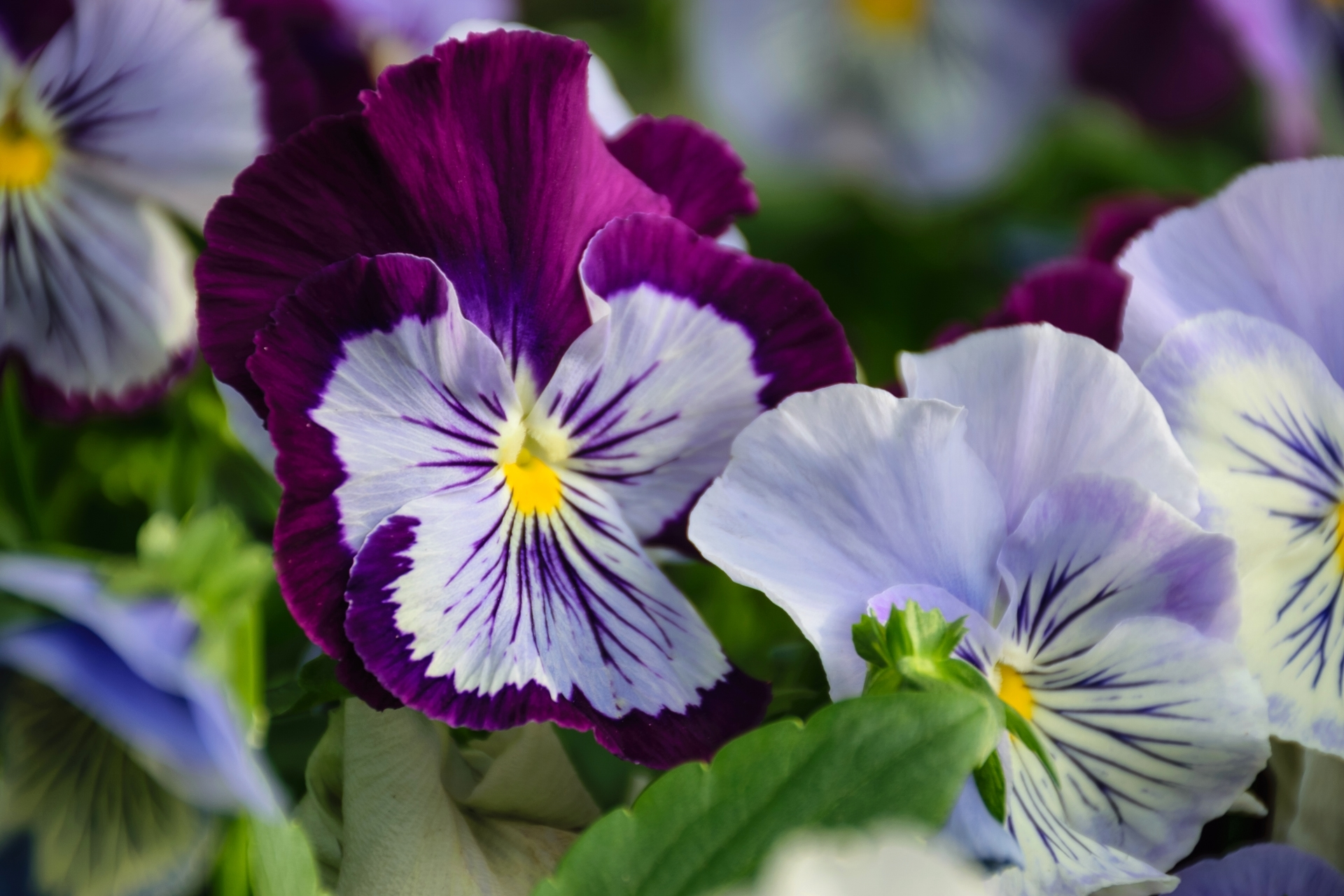 числе анютины глазки фото цветов хорошего разрешения изделия можно приобрести