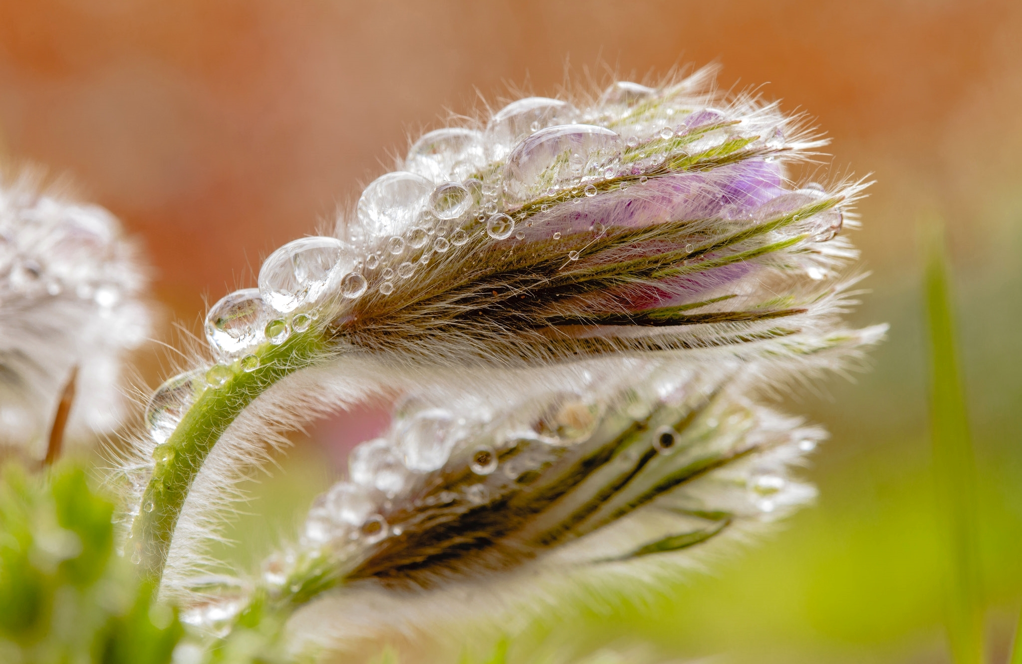 верба цветок капля макро бесплатно