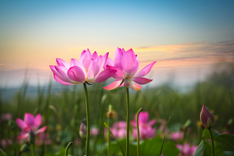 открытки с днем рождения цветы лотос корка развивается практически