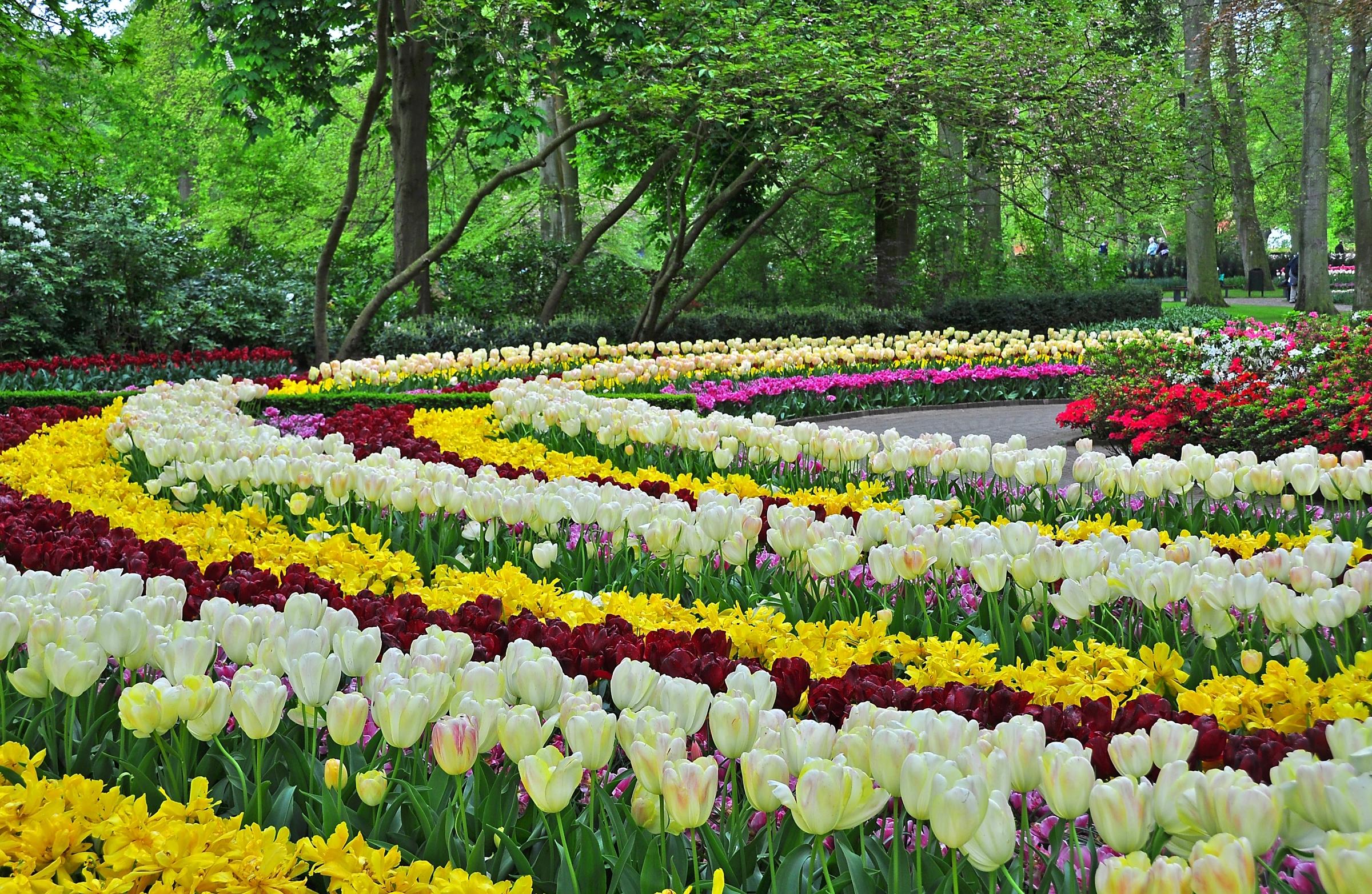 тюльпаны клумба  № 1349416 бесплатно