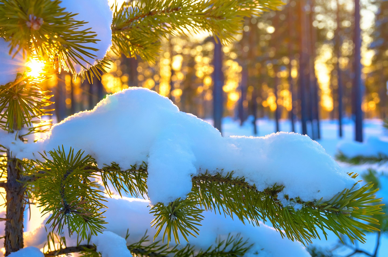 Снег, лучи, солнце, лес, ели без смс