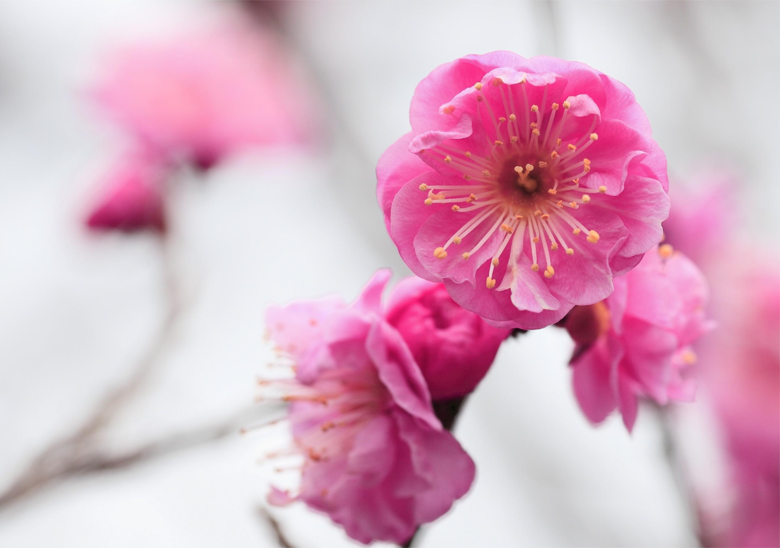 нежные цветочки на ветке  № 1333934 бесплатно
