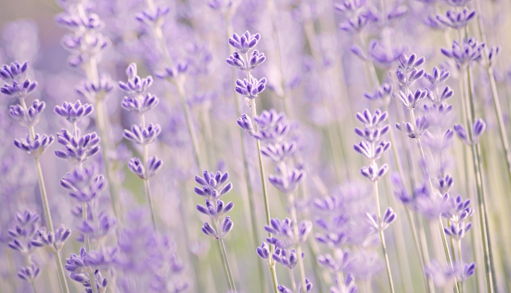 lavender background color - HD2040×1170